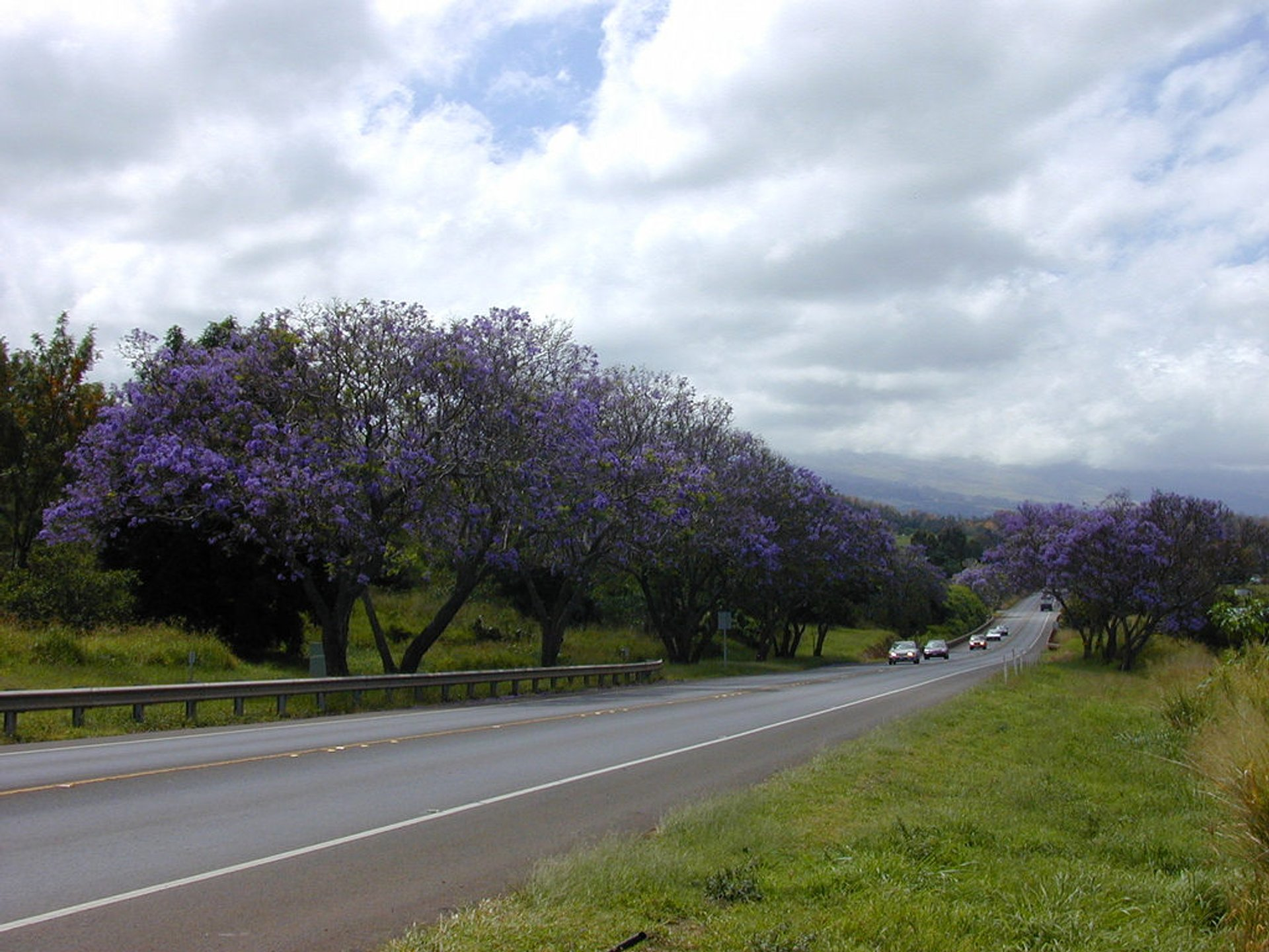 Jacaranda Tree Blooming in Hawaii - Best Season