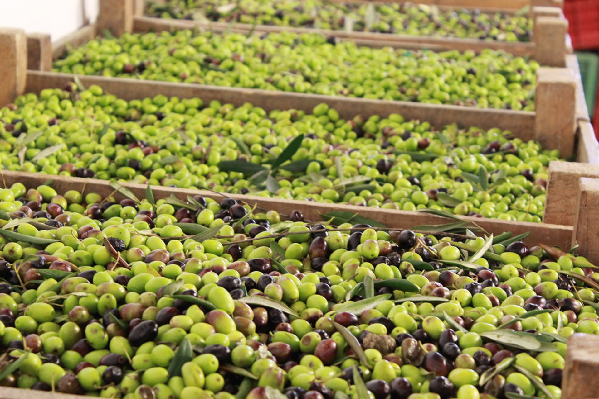Best time to see Olive Harvest in Tuscany 2020