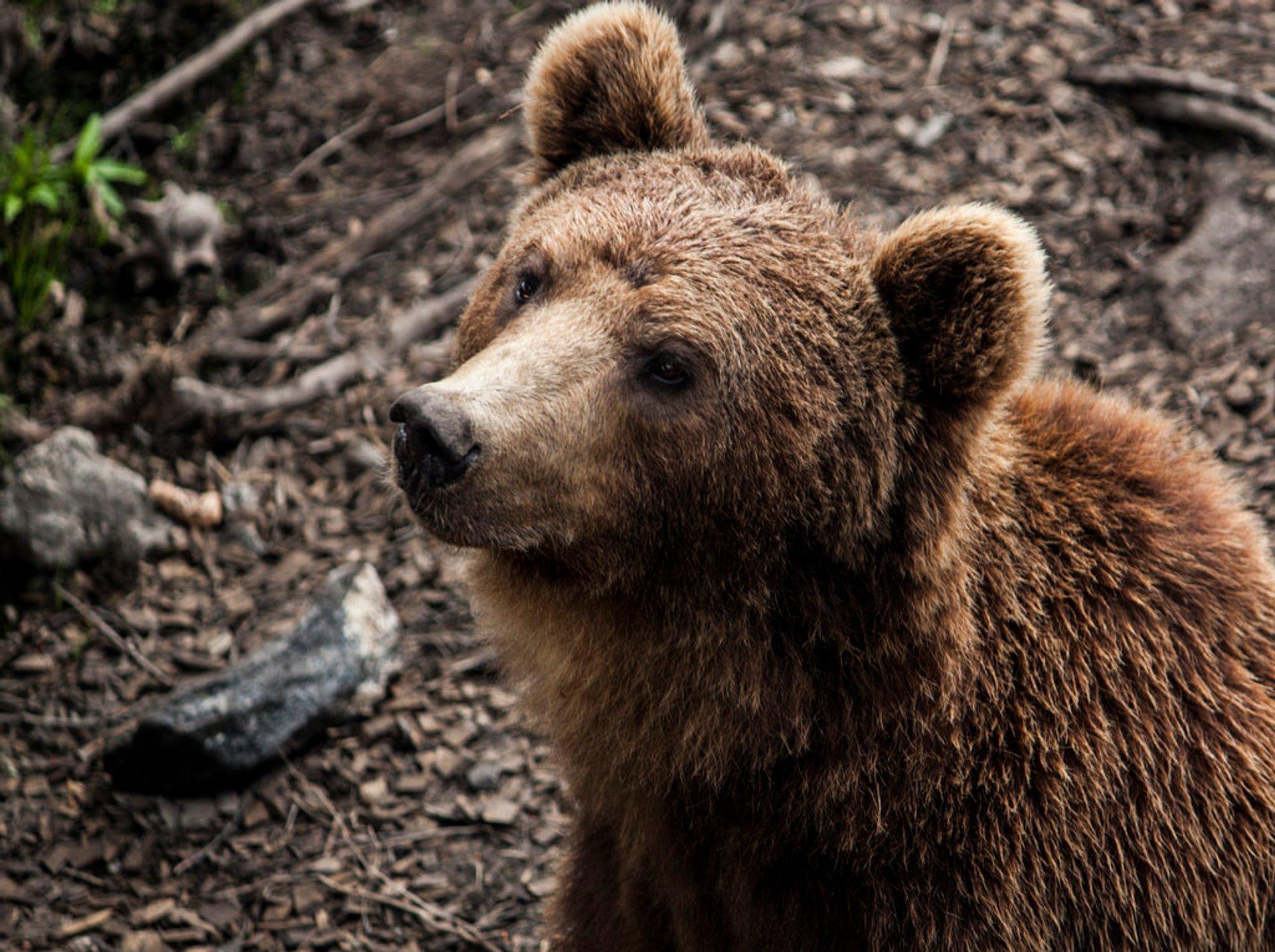 Brown Bears in Norway - Best Season 2020