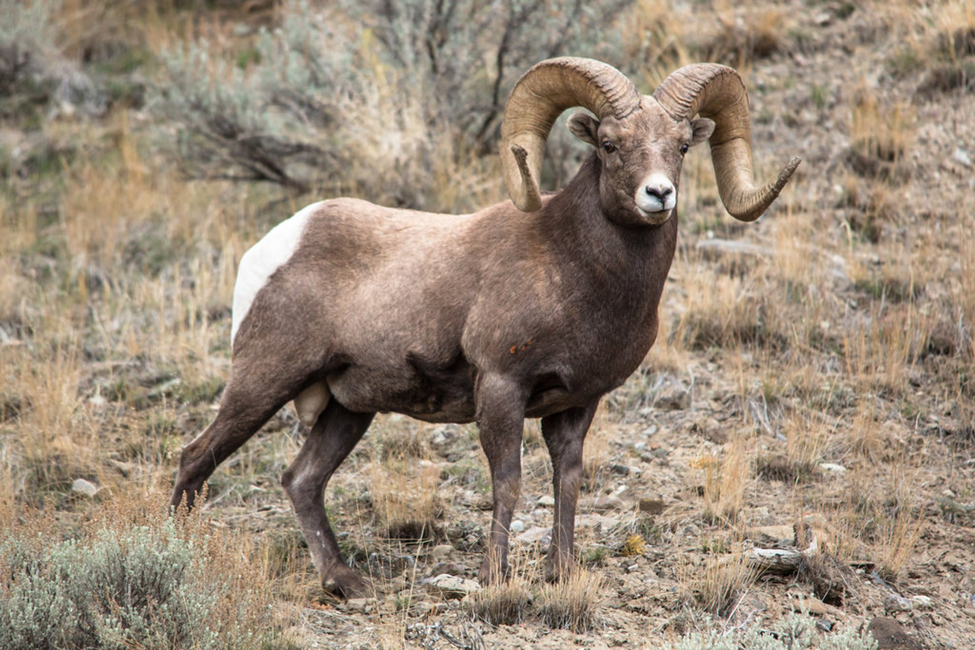 Bighorn Sheep in Yellowstone National Park 2020 - Best Time