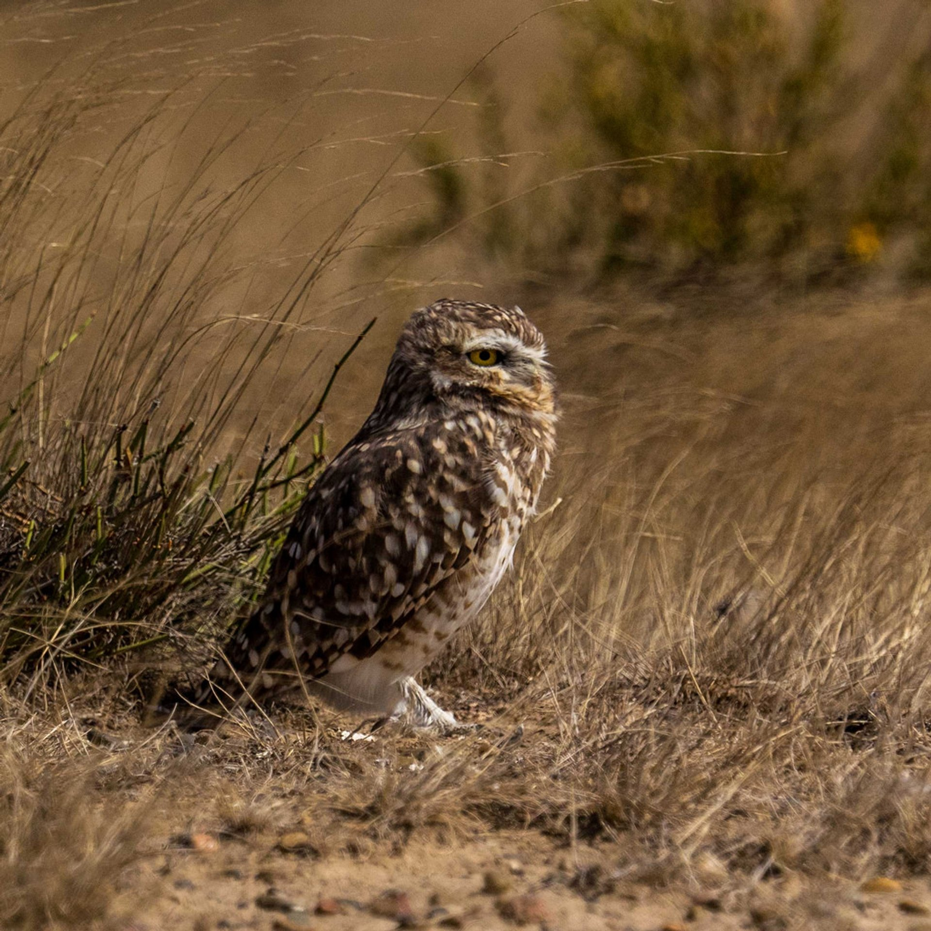 Burrowing Owl Nesting Season in Argentina - Best Season 2020