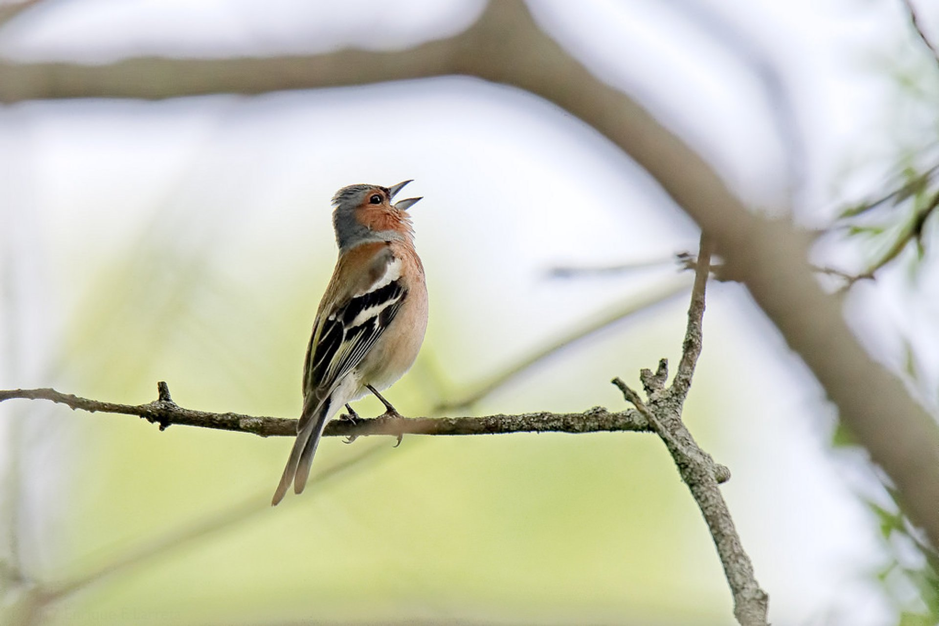 Singing male chaffinch (Fringilla coelebs)