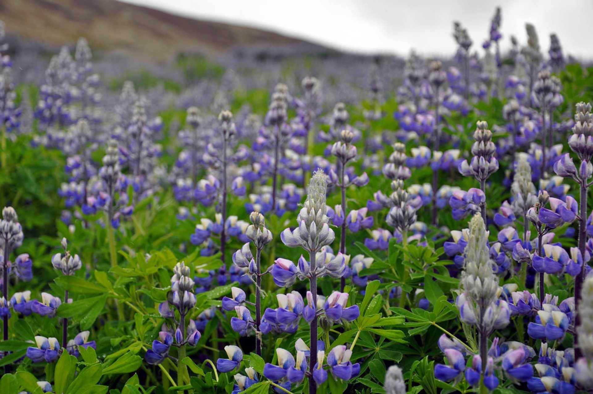 Lupin Blooming in Iceland - Best Season 2020