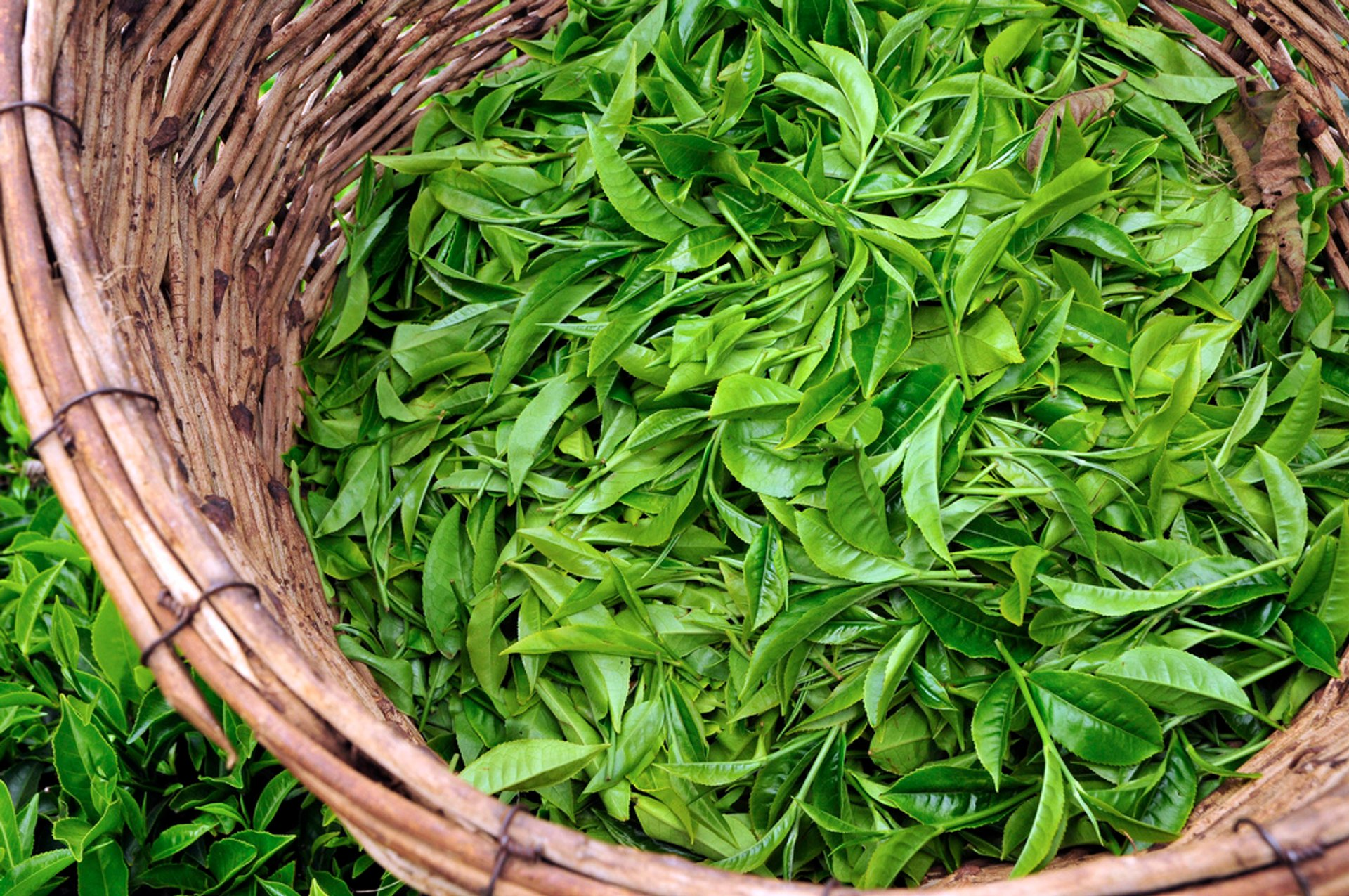 Best time for Tea Growing Season in Kenya 2020