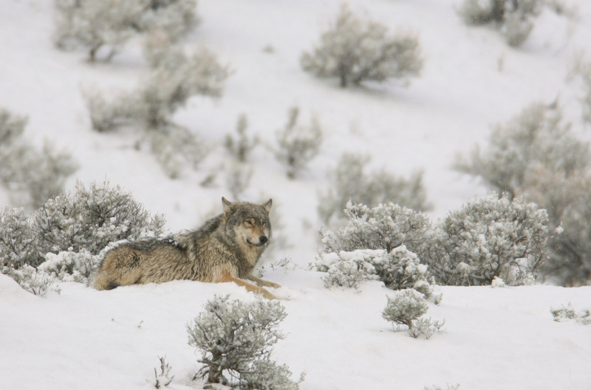 Wolves in Yellowstone National Park - Best Season 2020