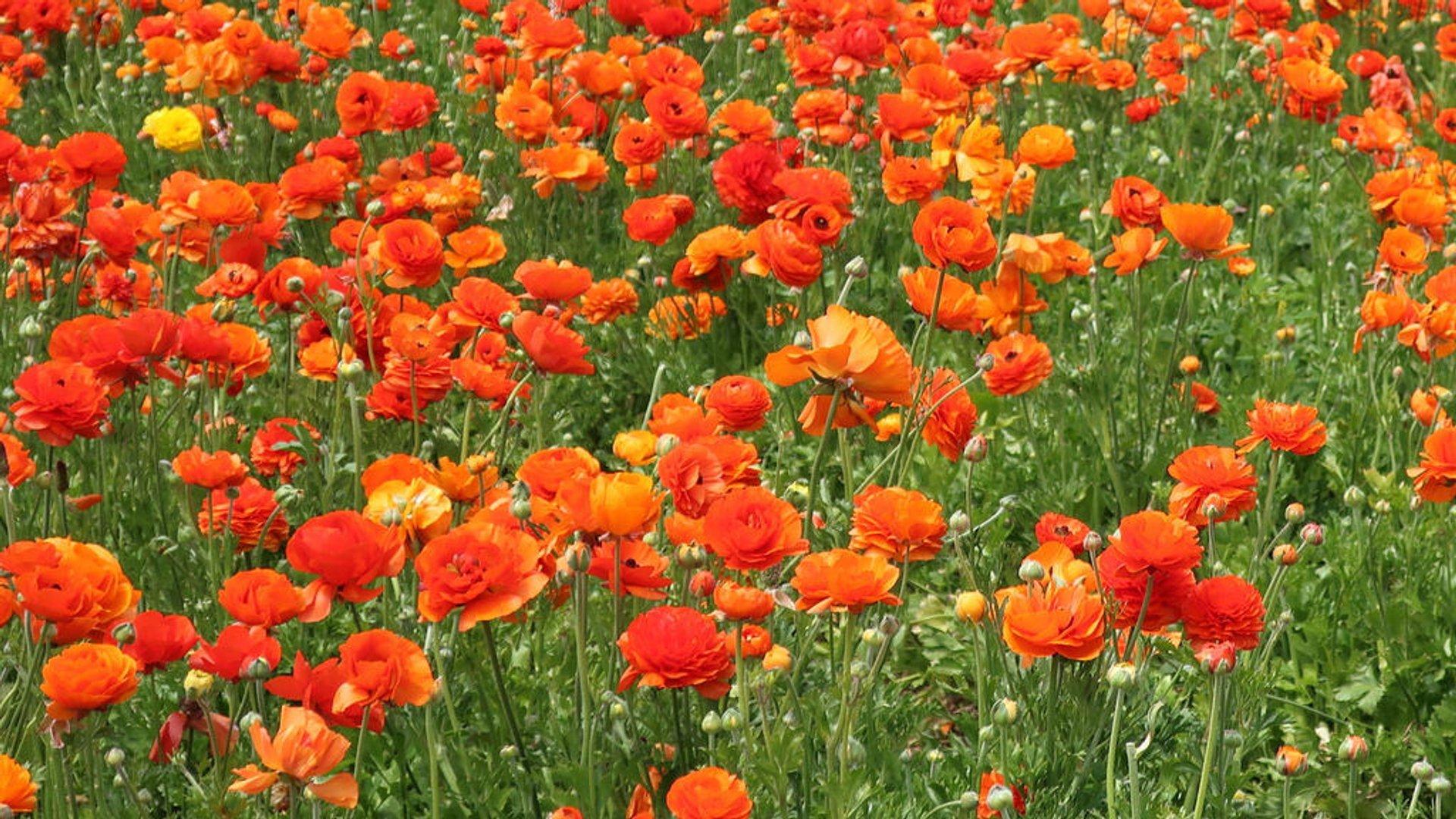 The Flower Fields at Carlsbad Ranch in San Diego - Best Season 2020