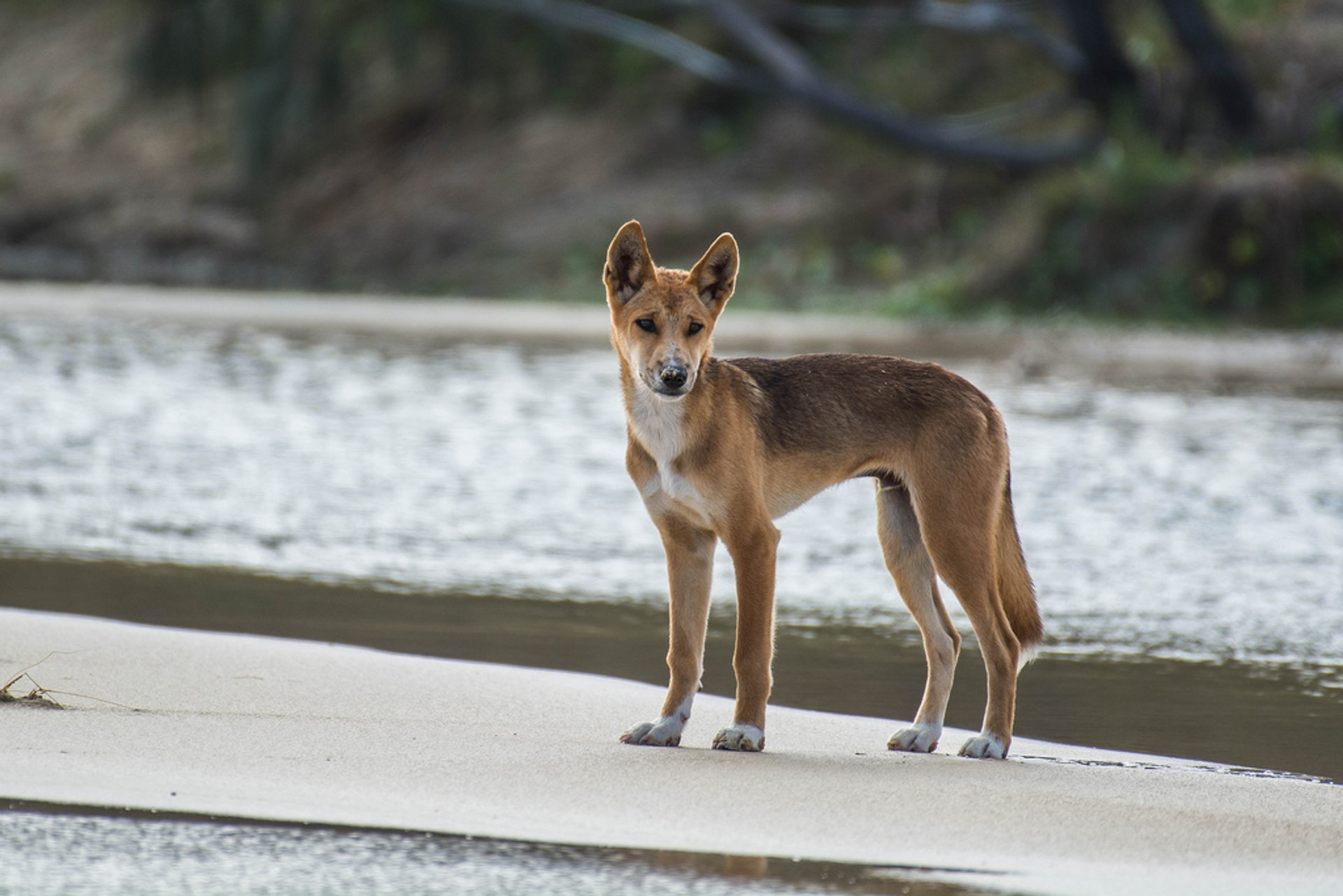 Wild Dingo, 75 Mile Beach, Fraser Island 2019