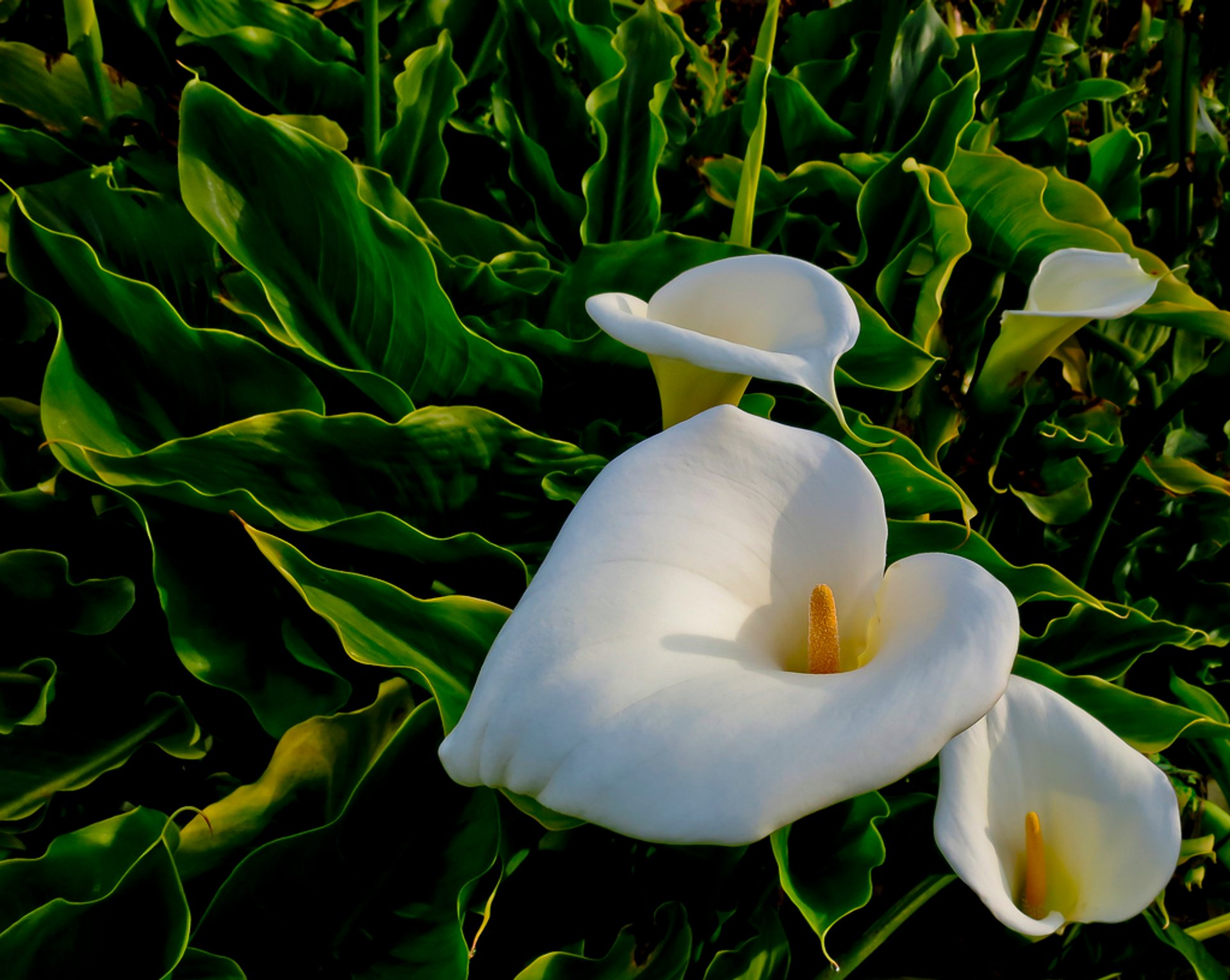 Calla Lily Valley in California - Best Season 2020