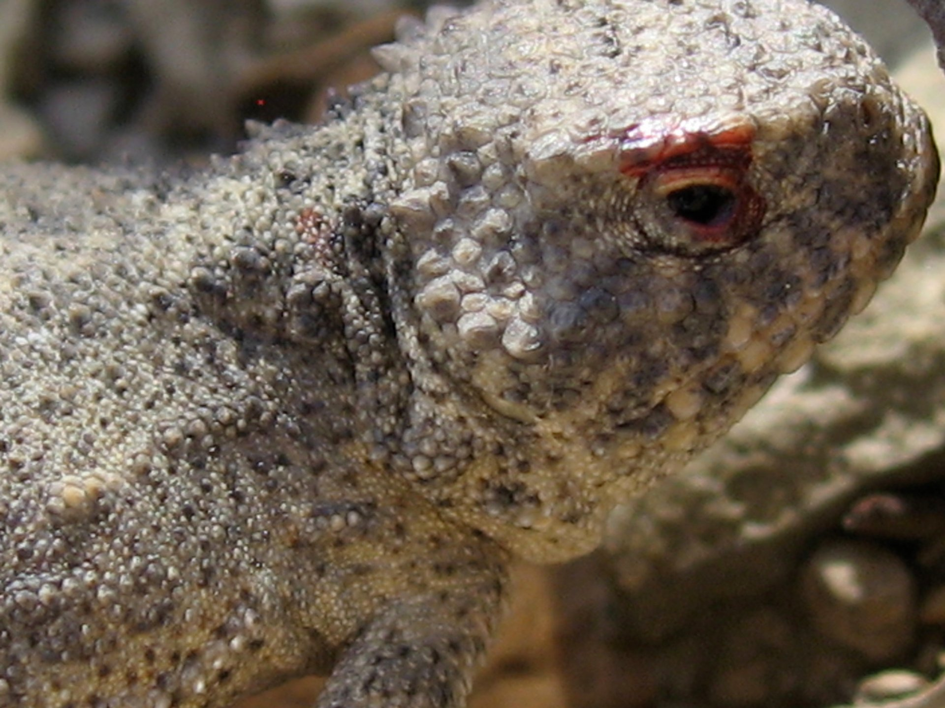 Horned Lizard with bloody eye, Montana, USA 2020