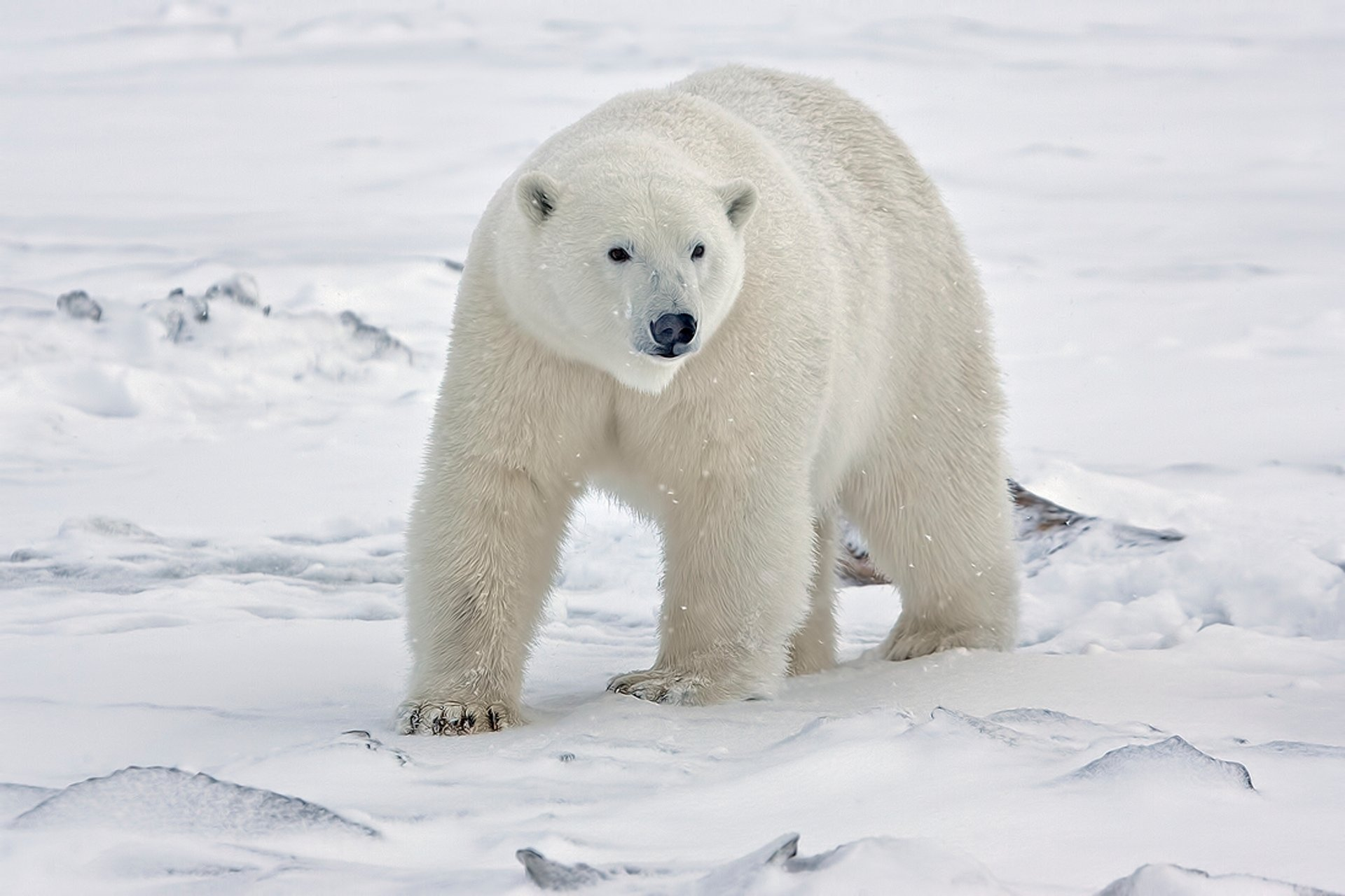 Polar Bear Watching in Alaska 2019 - Best Time