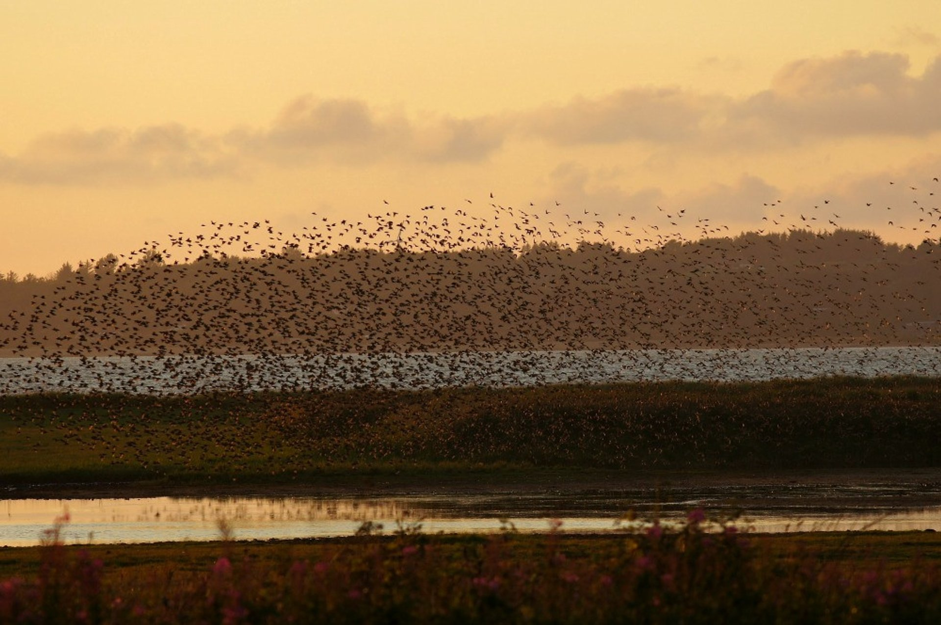 Black Sun or Starling Murmuration in Denmark 2019 - Best Time
