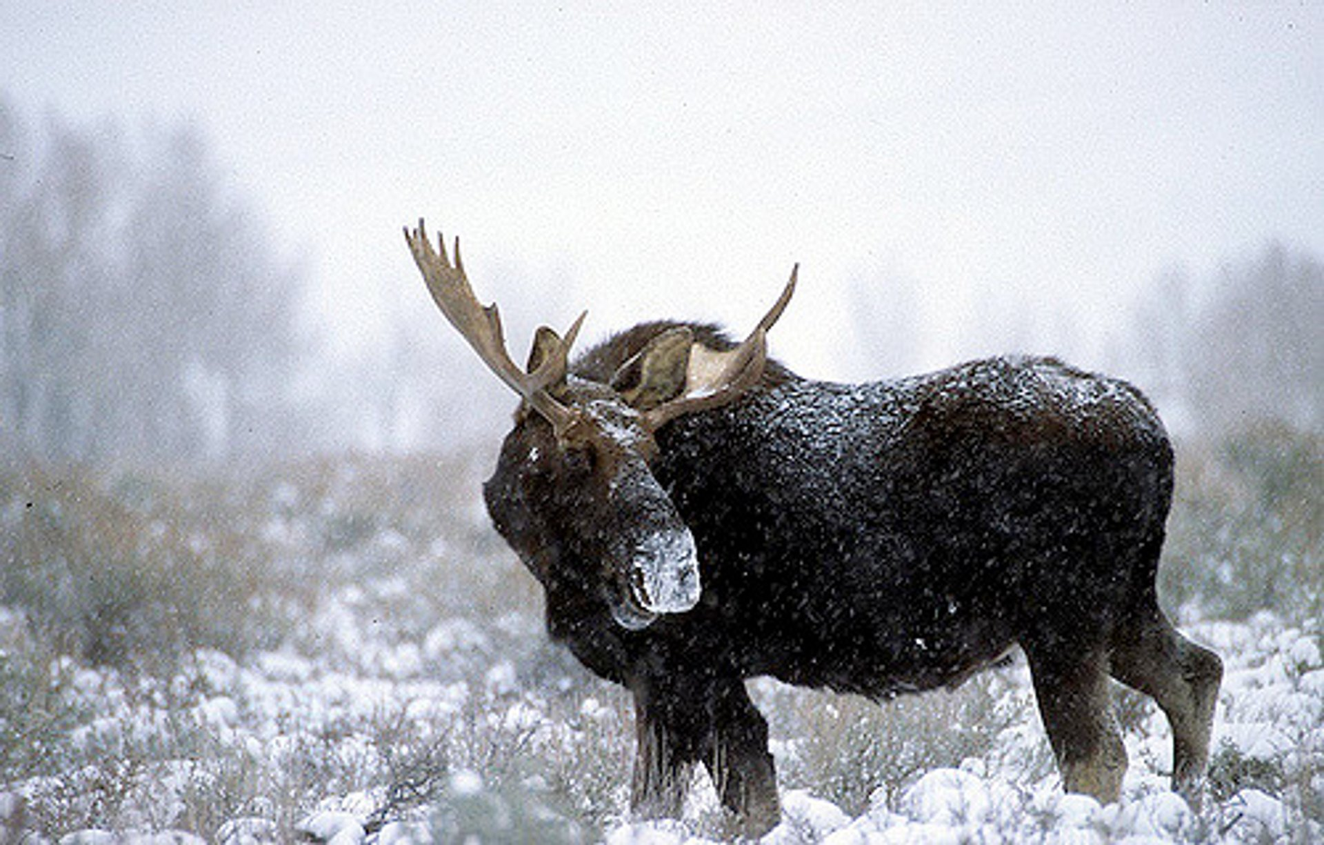 Best time for Moose in Yellowstone National Park 2019