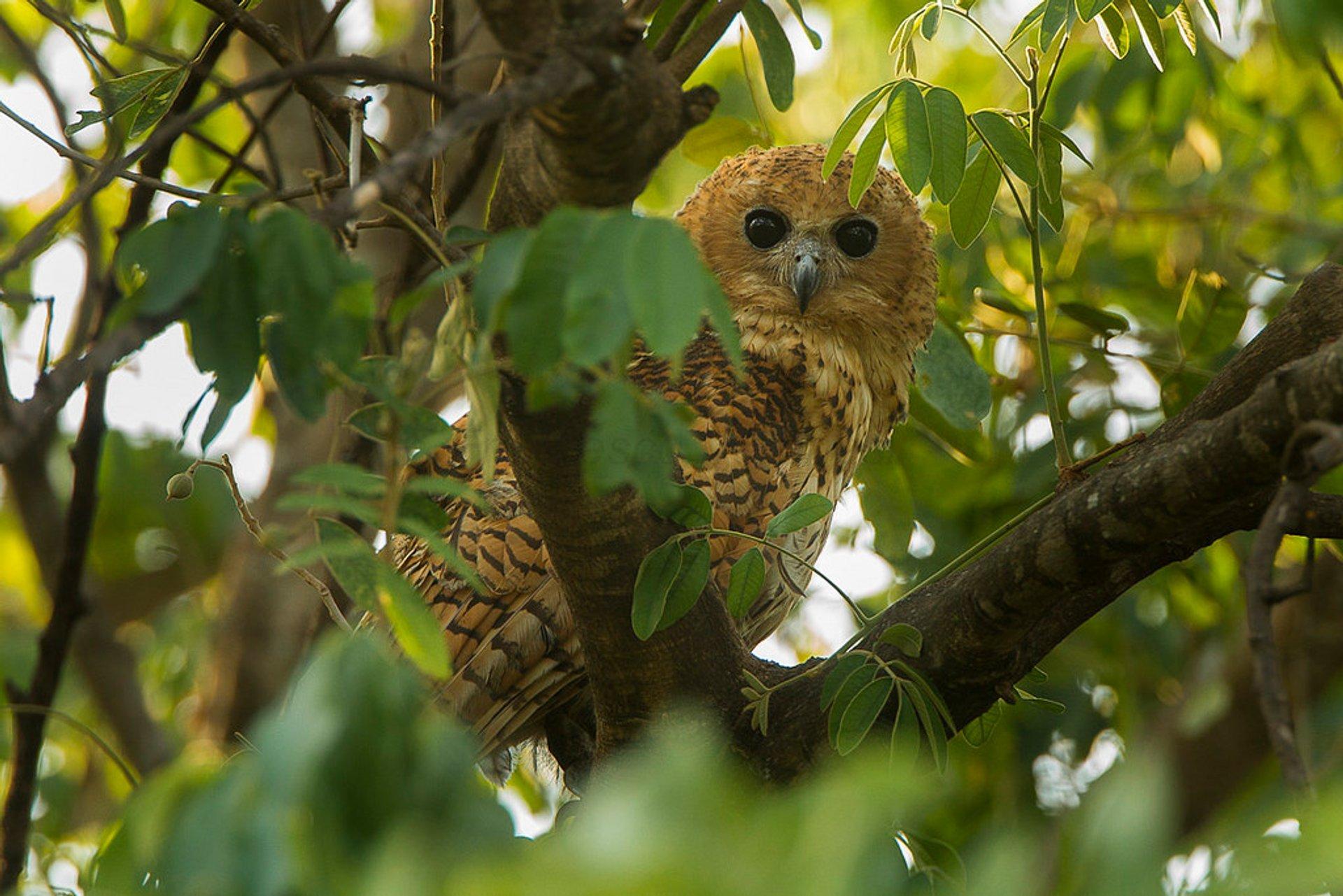 Pel's fishing-owl 2019