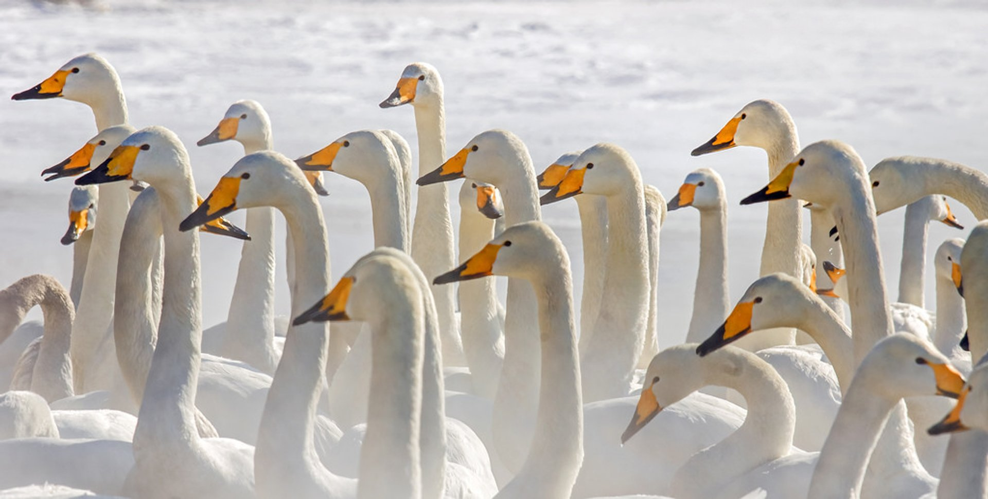 Best time for Whooper Swans at Lake Kussharo in Japan