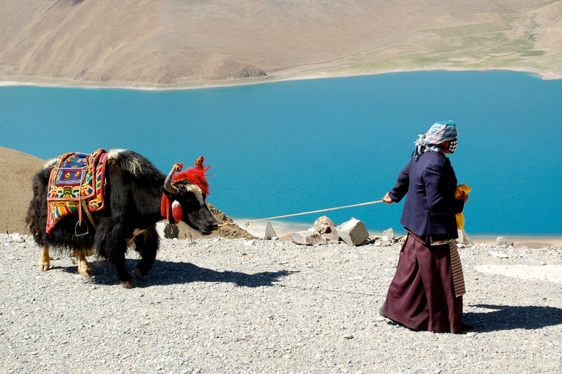 Yaks in Tibet - Best Season