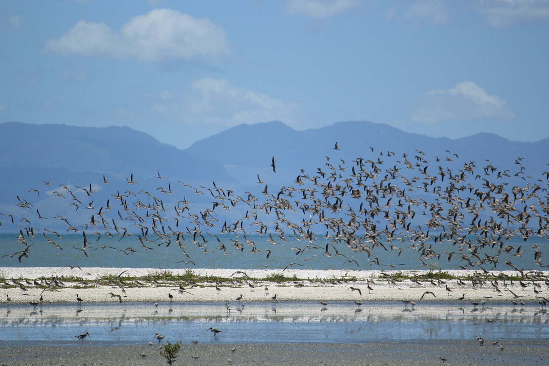Bar-Tailed Godwits in New Zealand - Best Season 2020