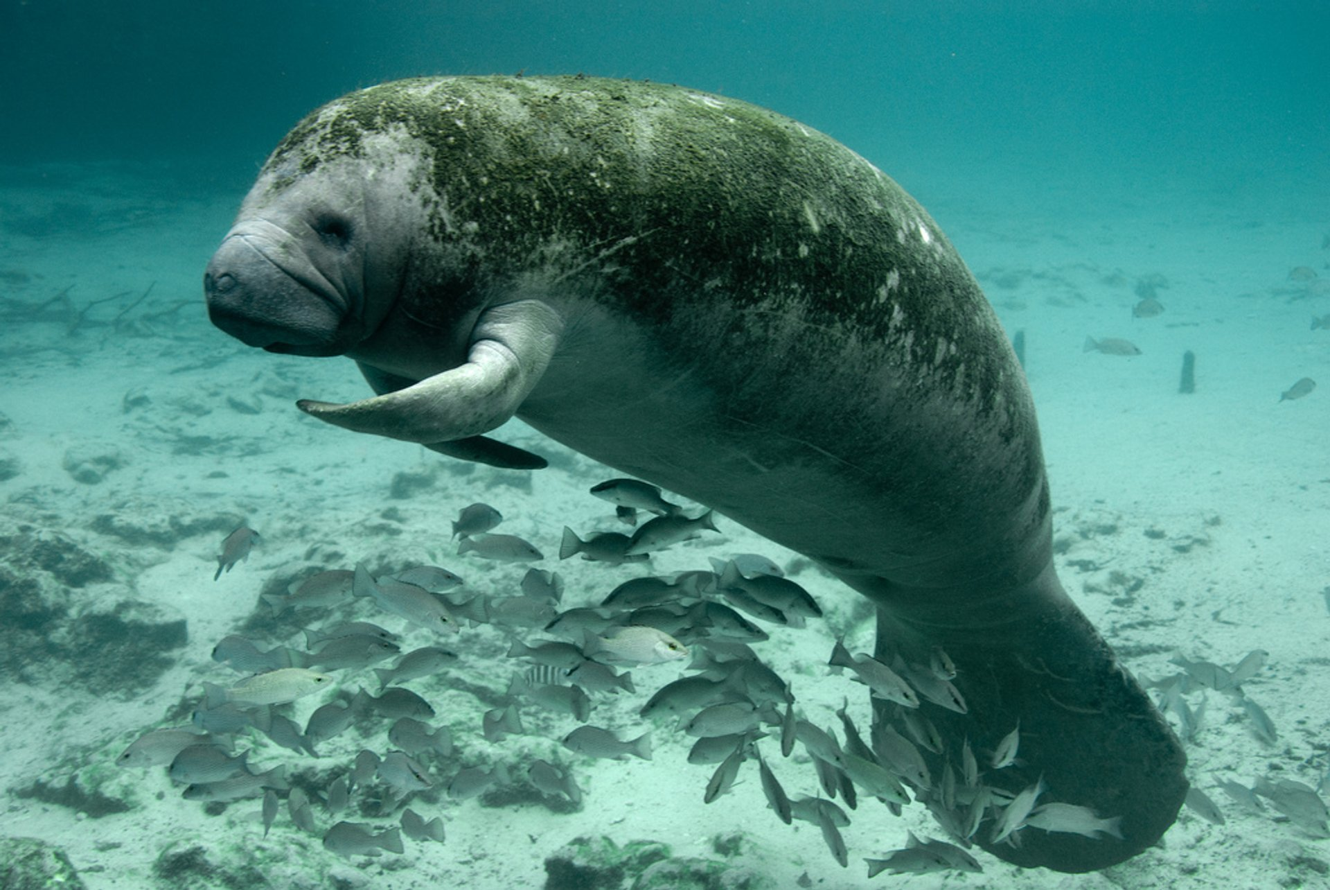 Swimming with Manatees in Florida - Best Season 2020