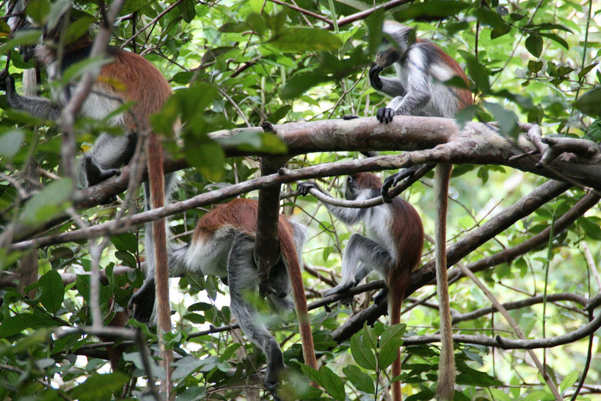 Baby Red Colobus Monkeys in Zanzibar - Best Season