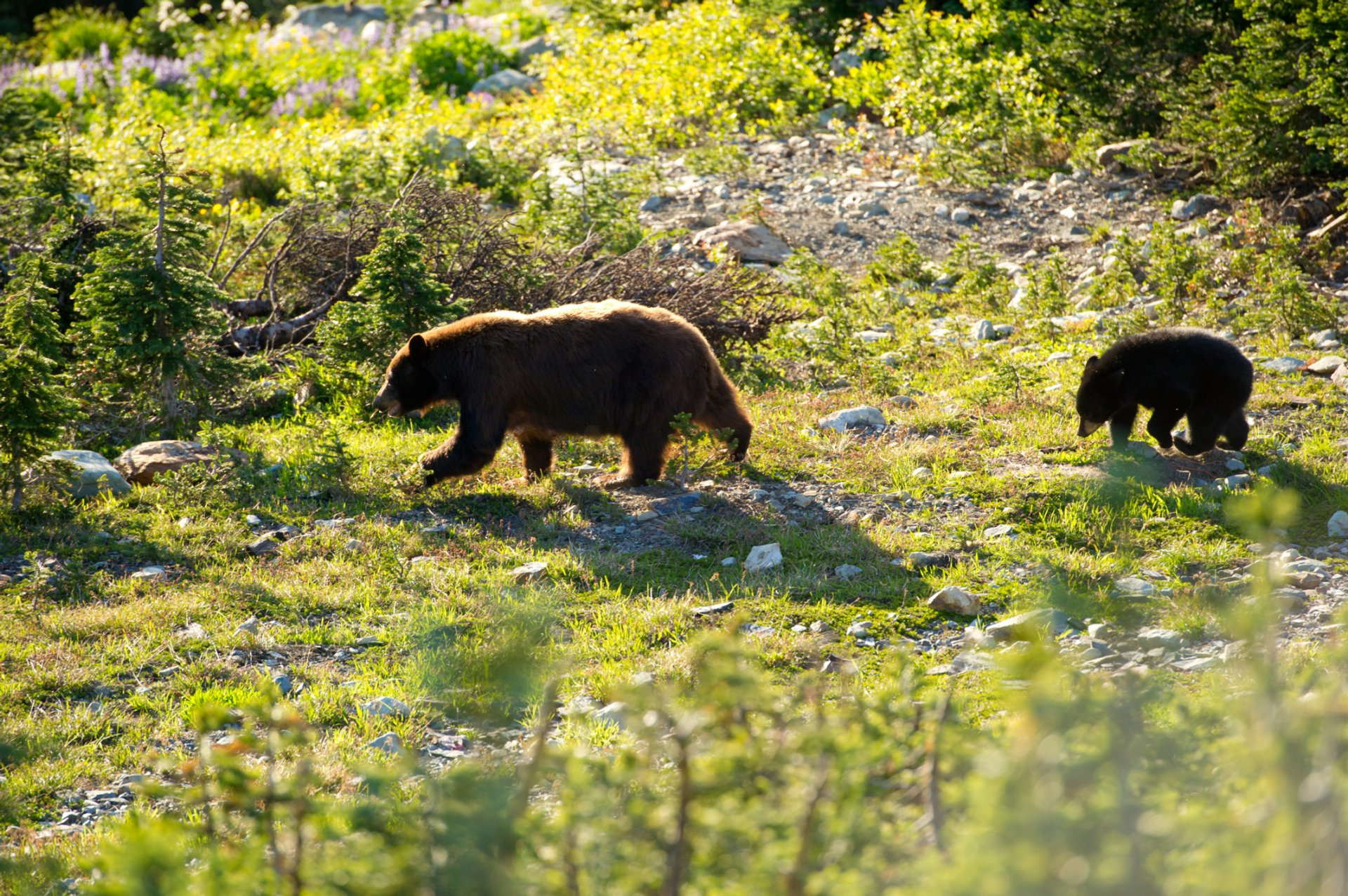 A bear and cub on Whistler Mountain 2020