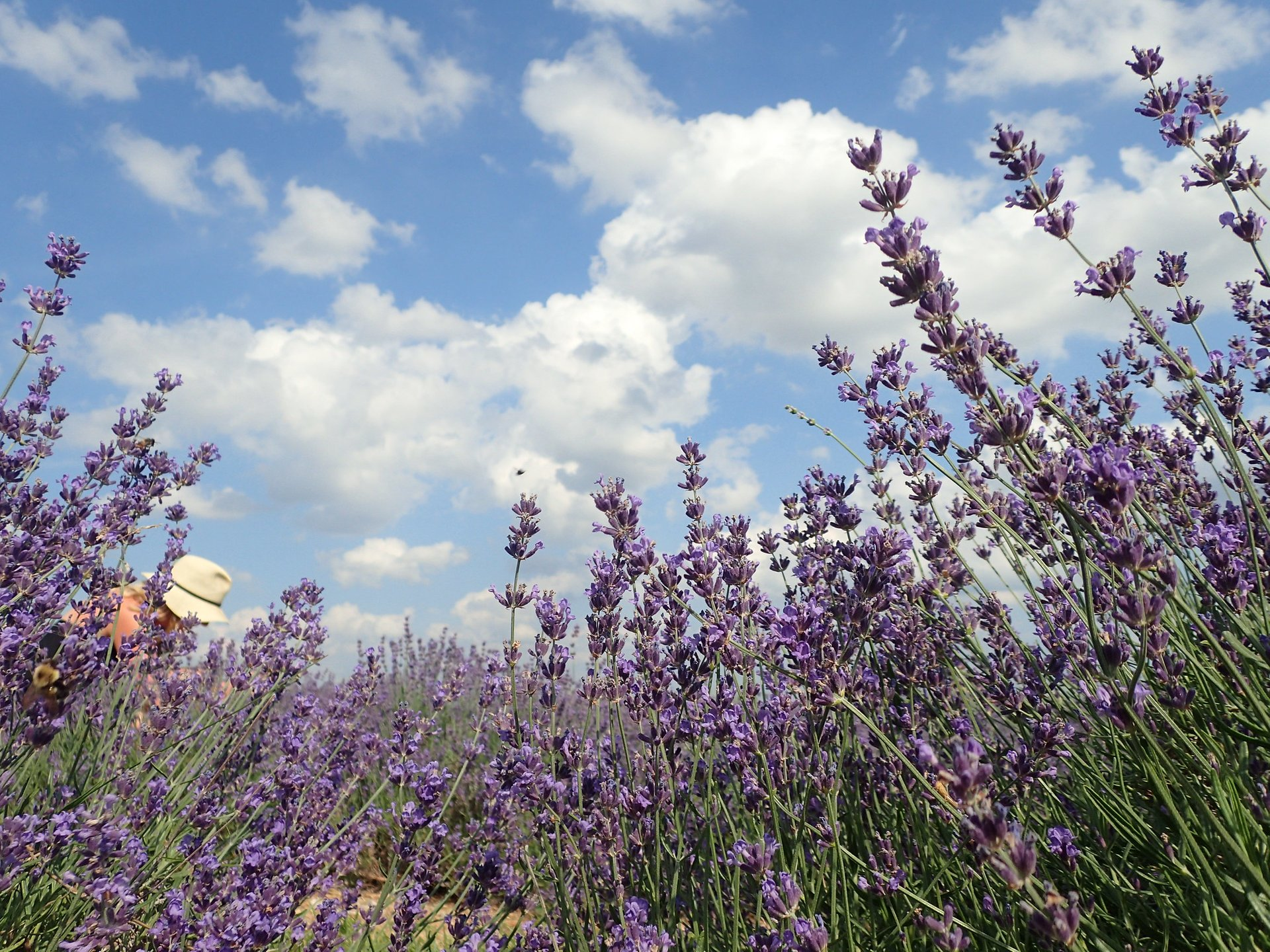 Best time to see Maryland Lavender Festival 2020