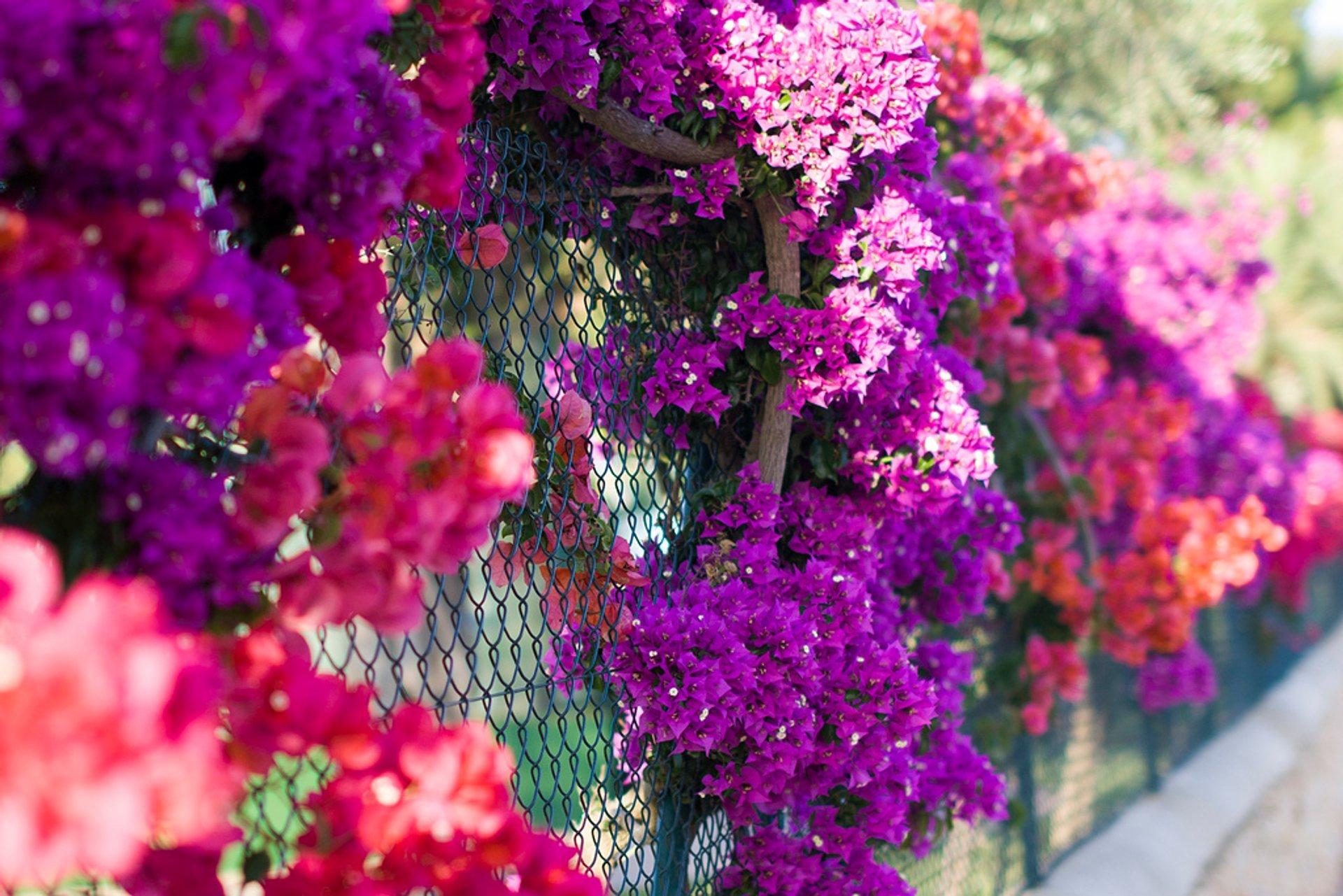 Bougainvillea Bloom in Mallorca 2020 - Best Time