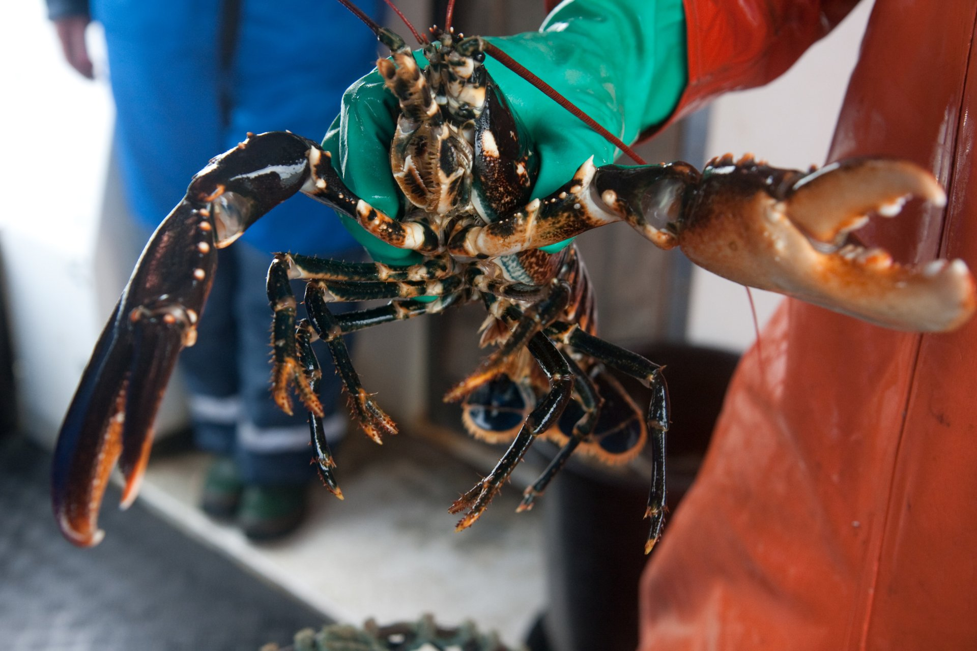 Lobster Season in Sweden - Best Season 2019