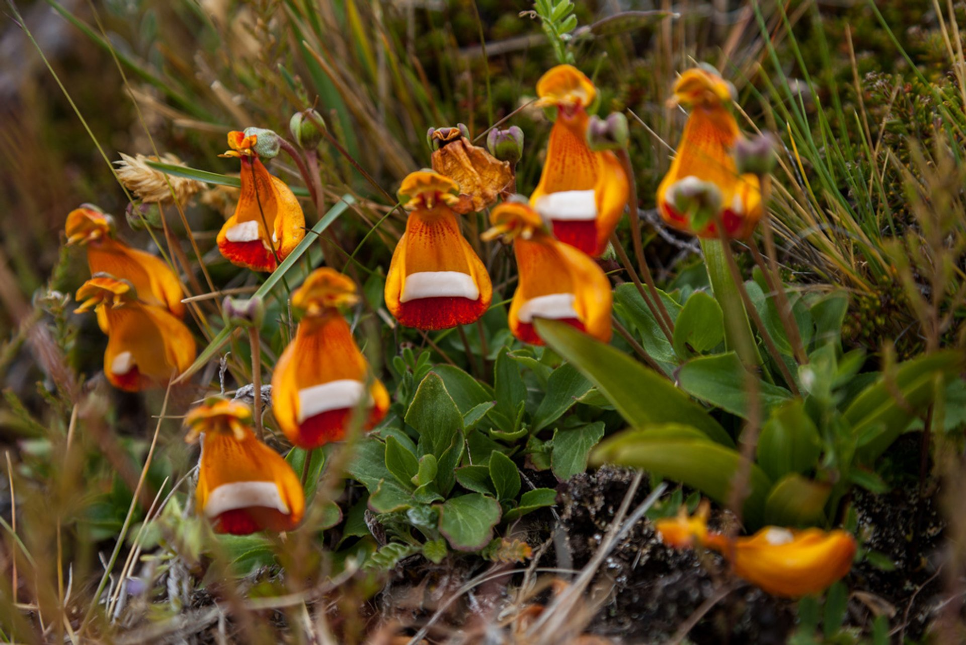 Lady's Slipper in Patagonia - Best Season