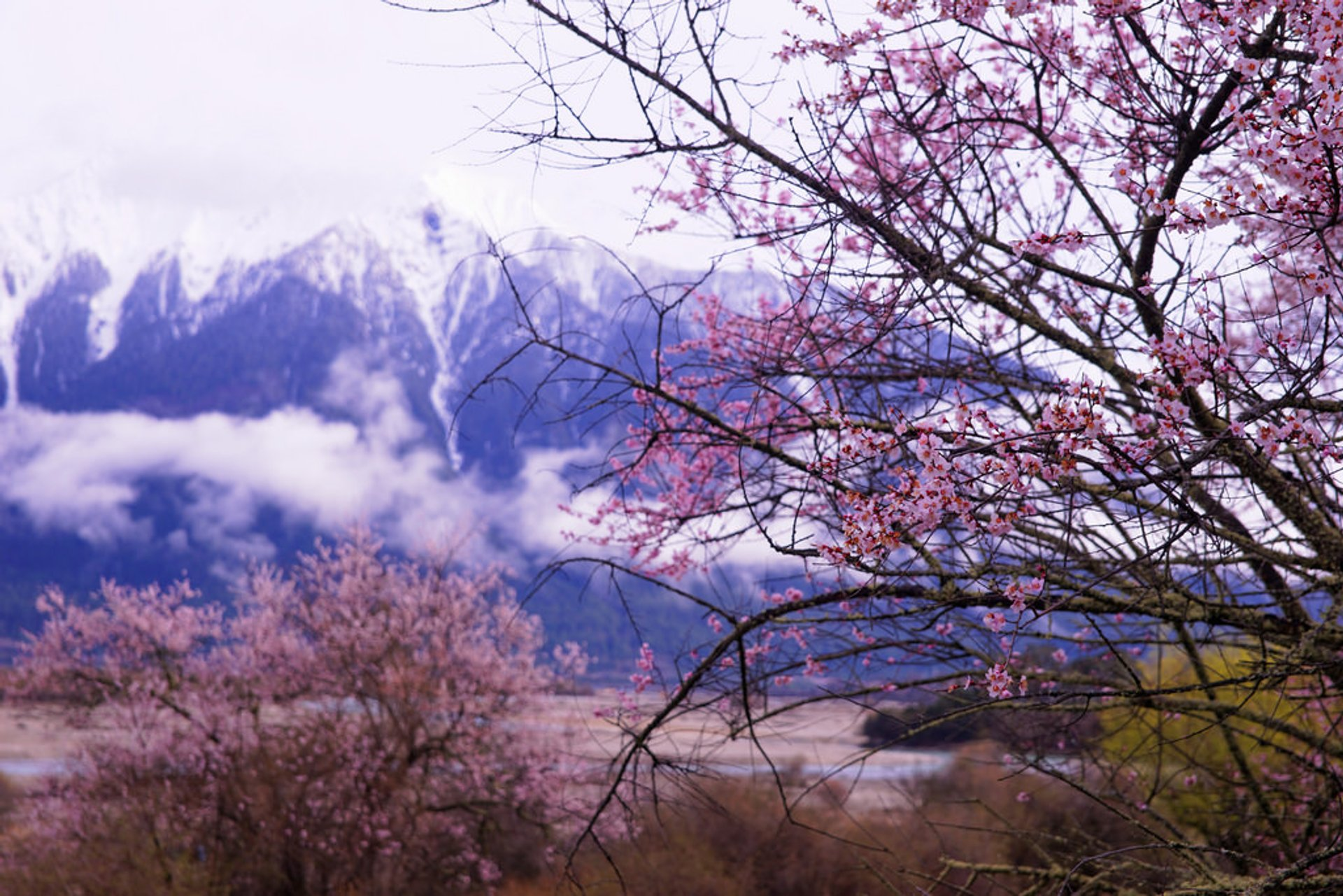 Peach Blossom in Tibet 2019 - Best Time