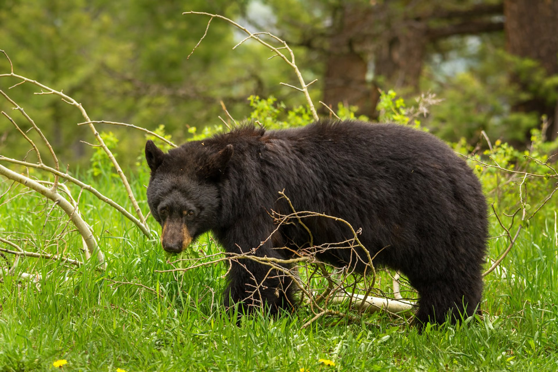 Black Bears in Yellowstone National Park - Best Season 2020