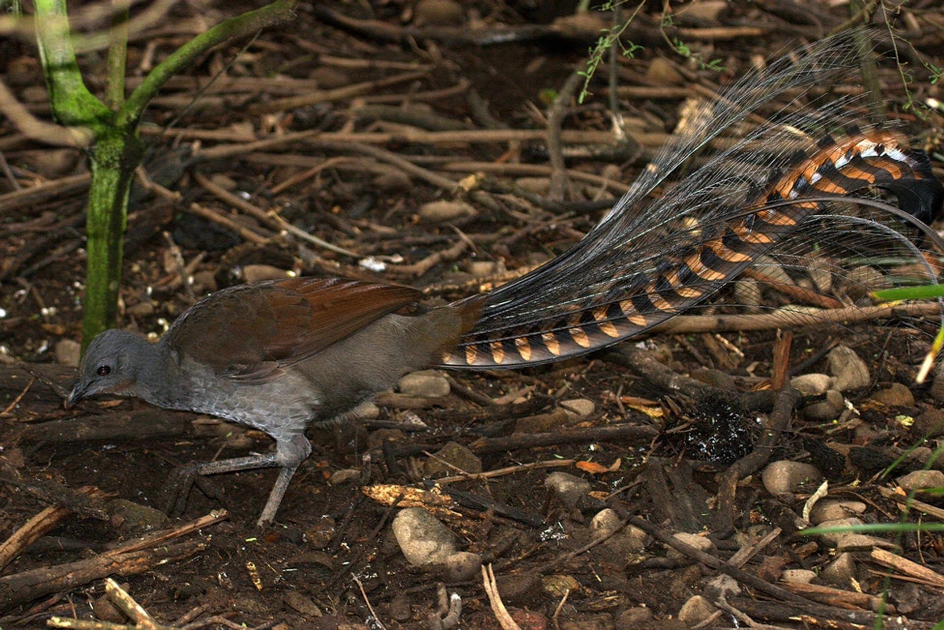 Superb Lyrebird (Menura novaehollandiae), Mt Buffalo, Victoria 2019