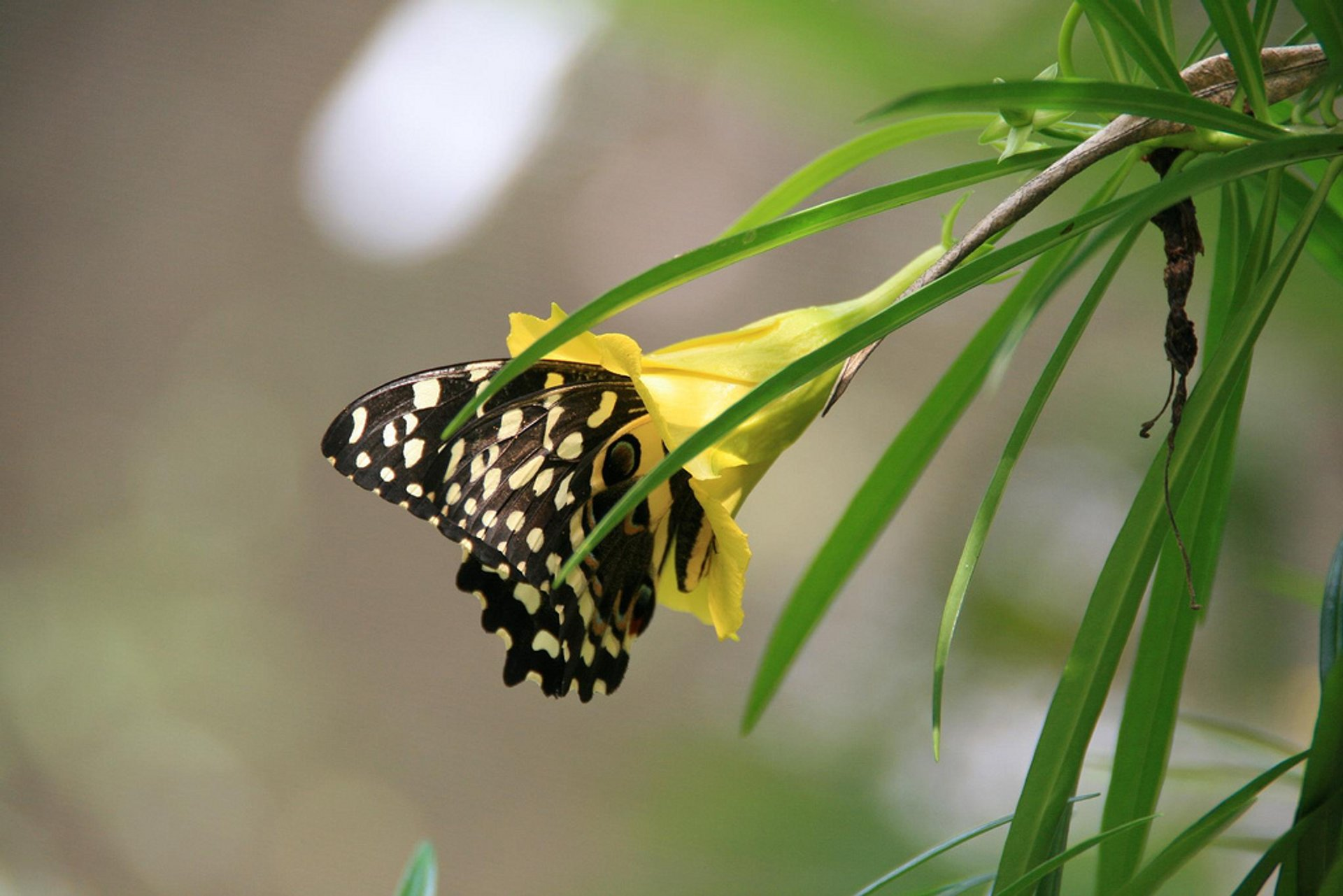 Citrus swallowtail (Papilio demodocus) in the Jozani Forest 2020