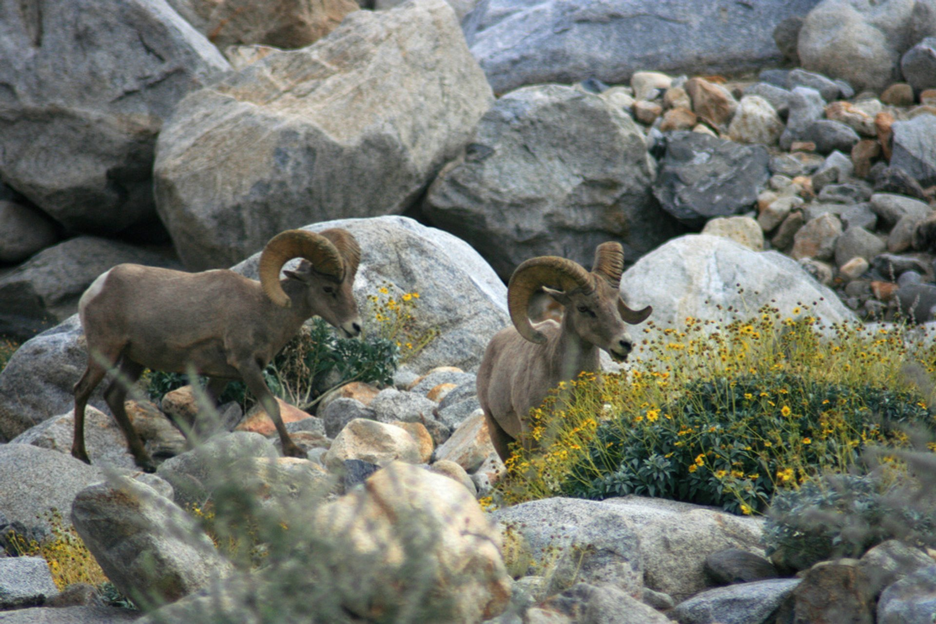 Best time for Big Horn Sheep in Los Angeles 2019