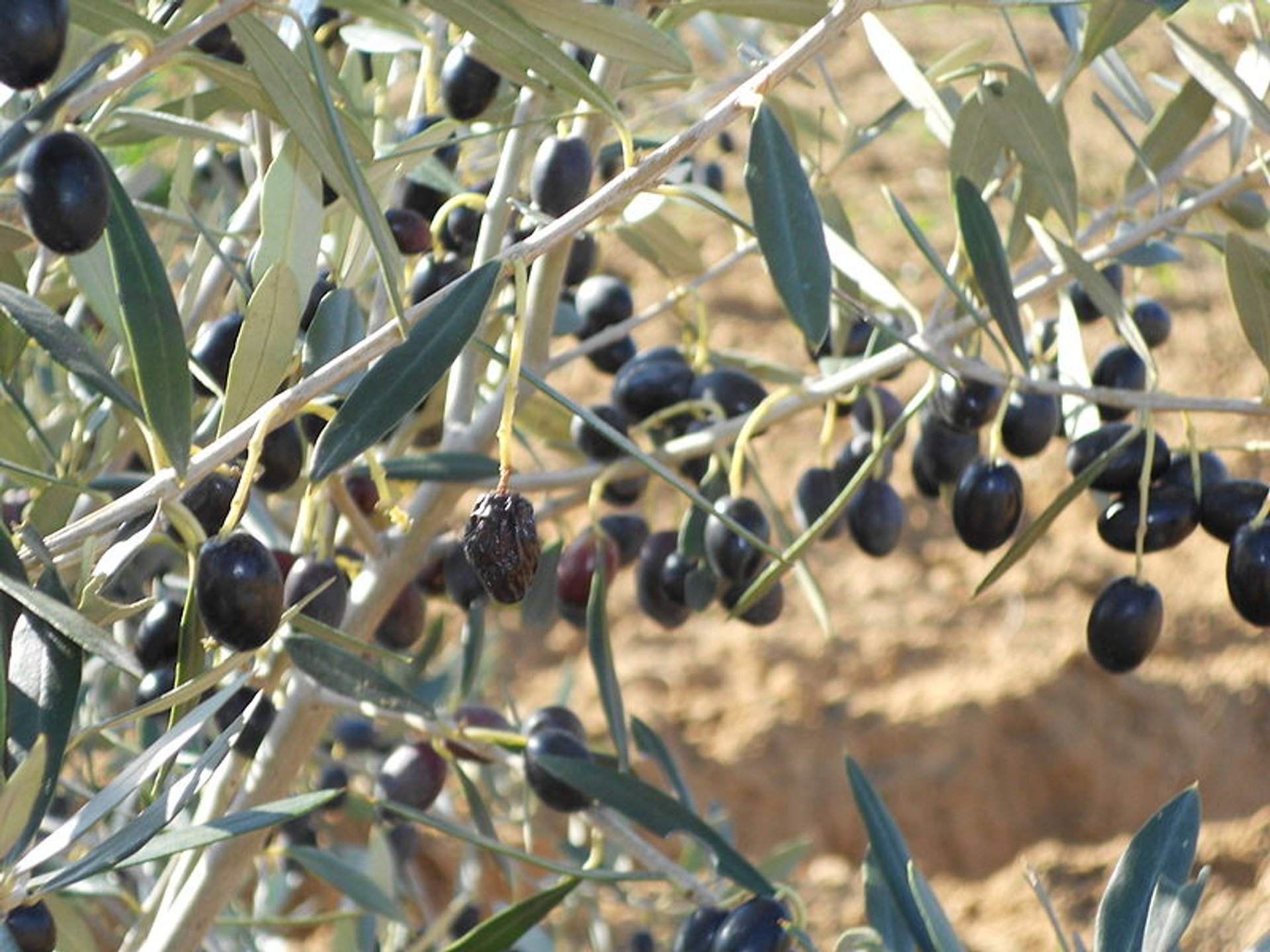Best time for Olive Harvest 2020