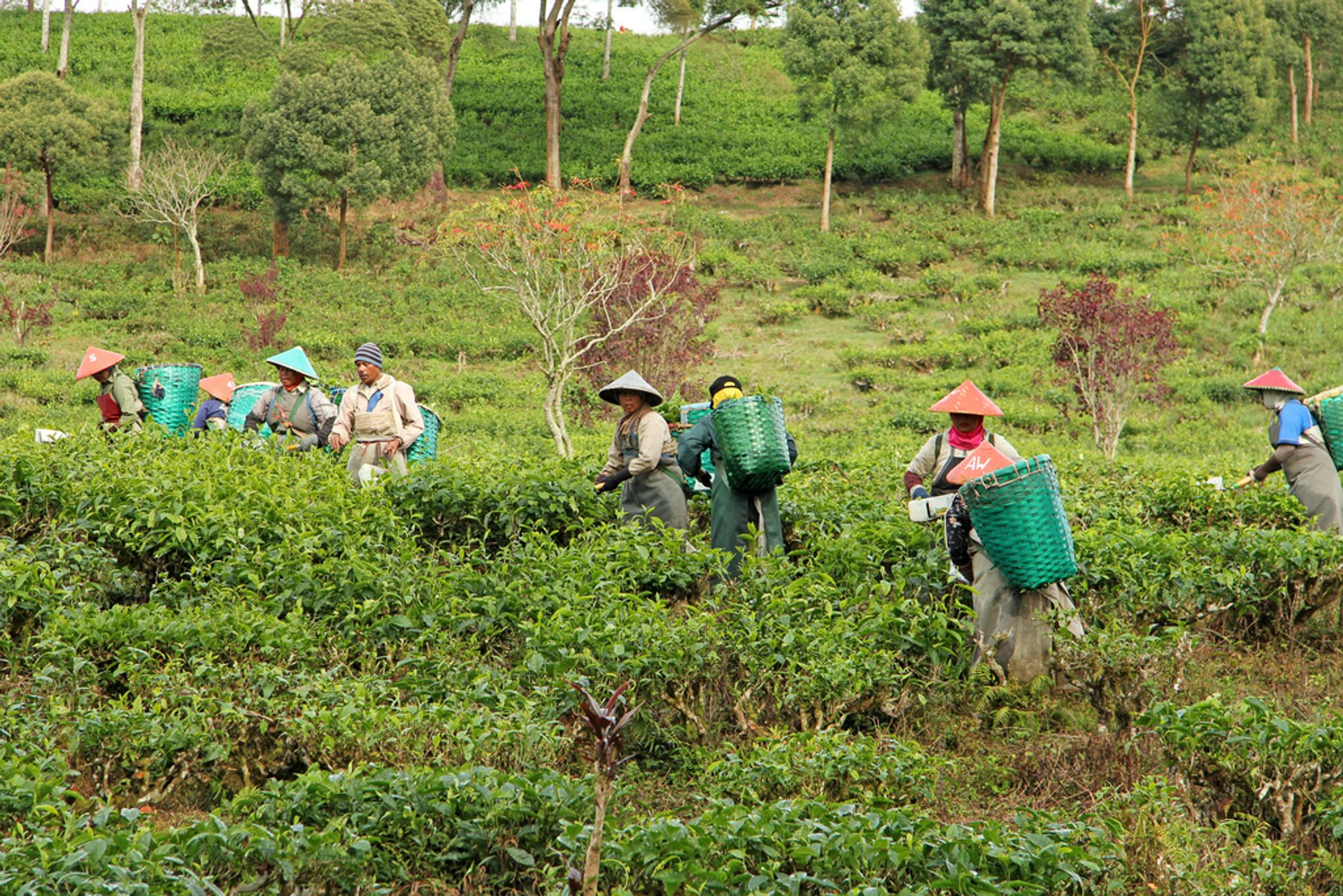 Tea Harvest in Java - Best Season