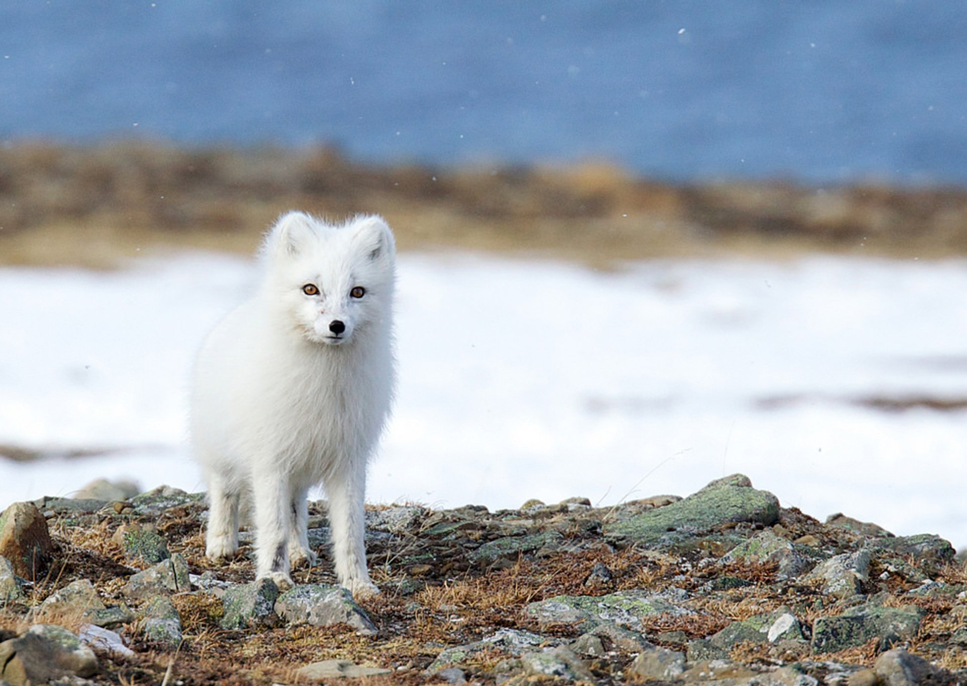 The arctic fox in Svalbard