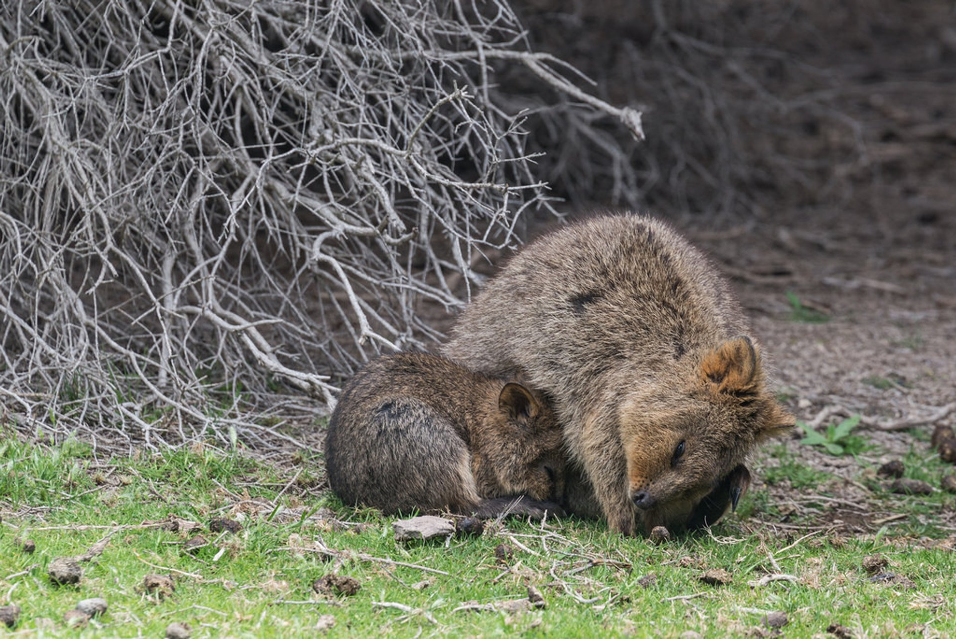 Best time for Quokka, the World's Happiest Animal