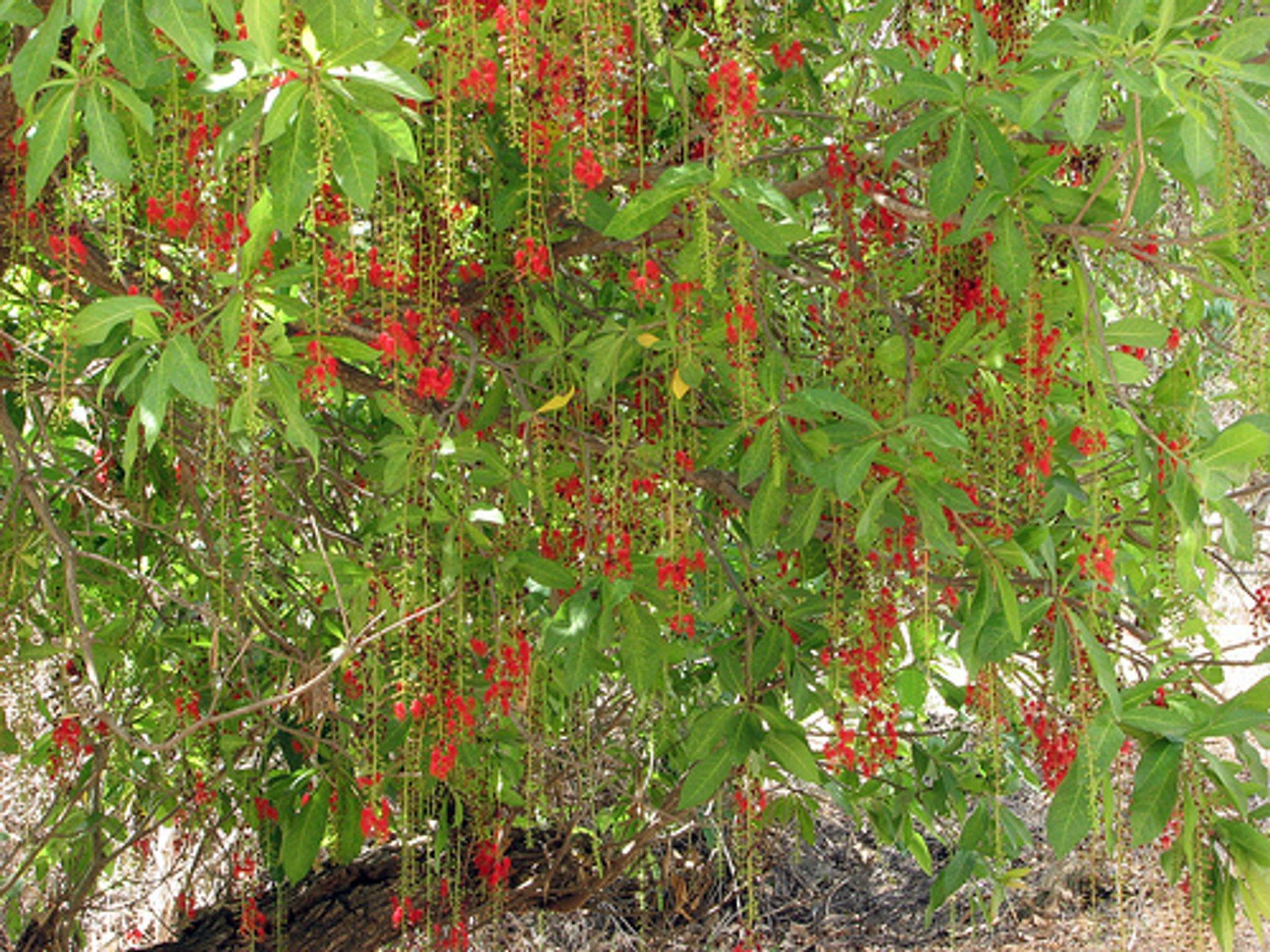 Best time for Sesame Fortune Flower or Lộc Vừng in Vietnam 2020
