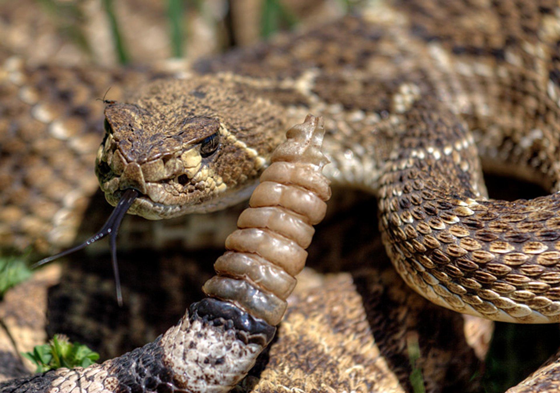 Western Diamondback Rattlesnake 2020