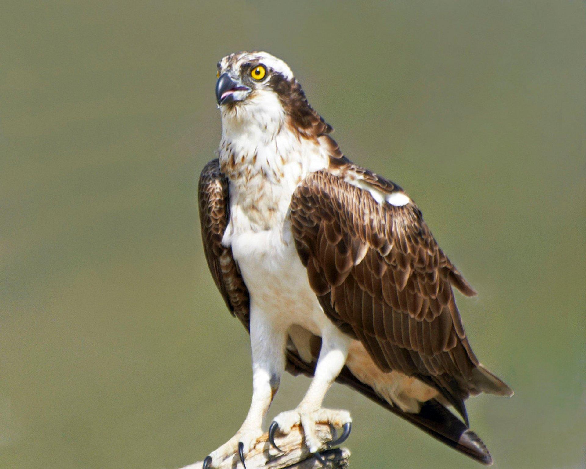 Osprey Watching in Scotland - Best Season