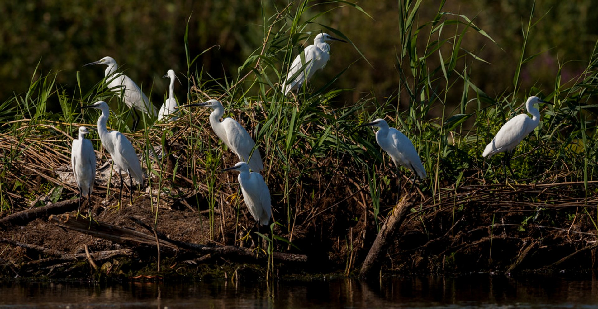 Great White Egrets of the Danube Delta 2020