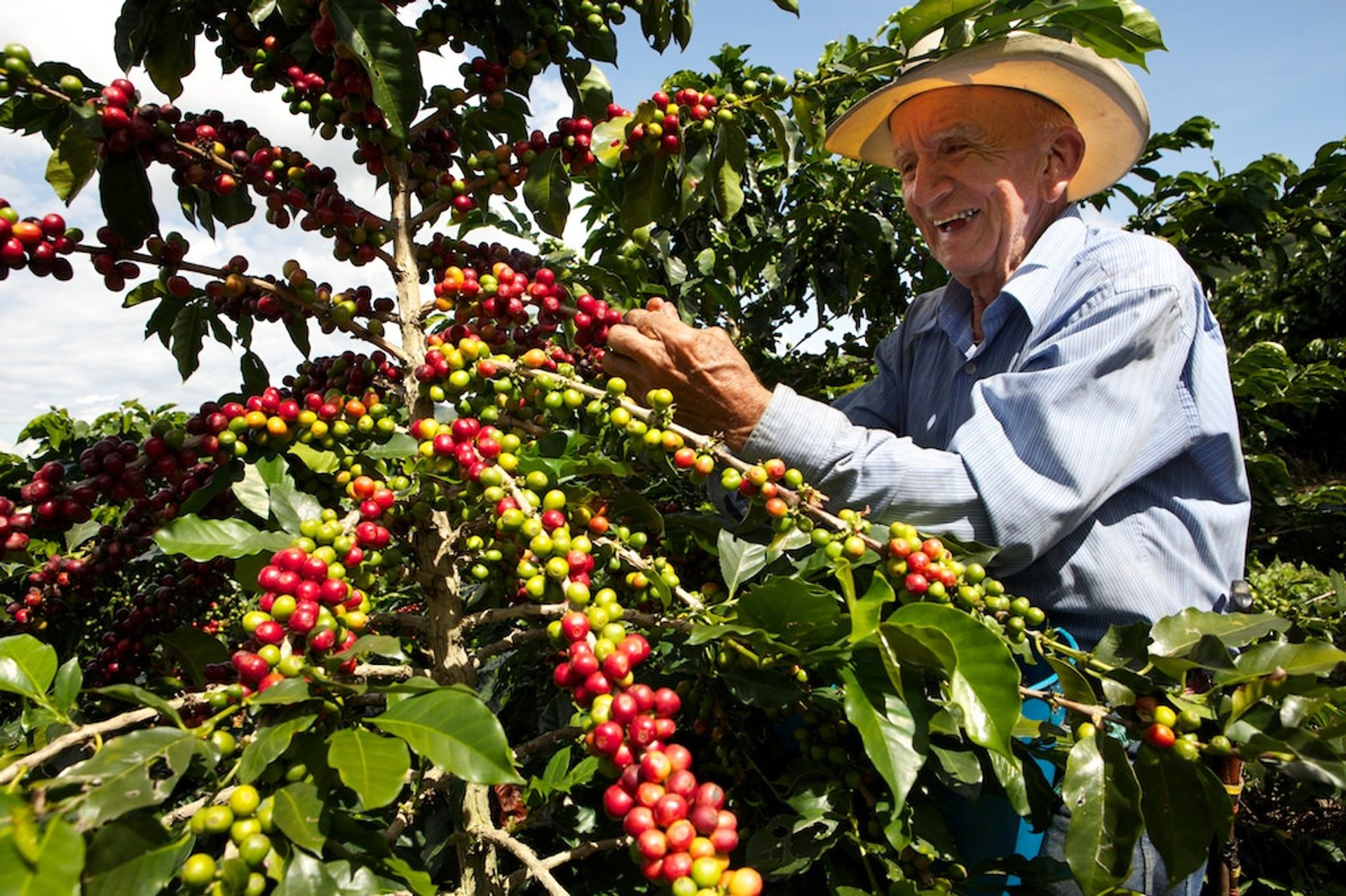 Best time for Coffee Harvest in Colombia 2020
