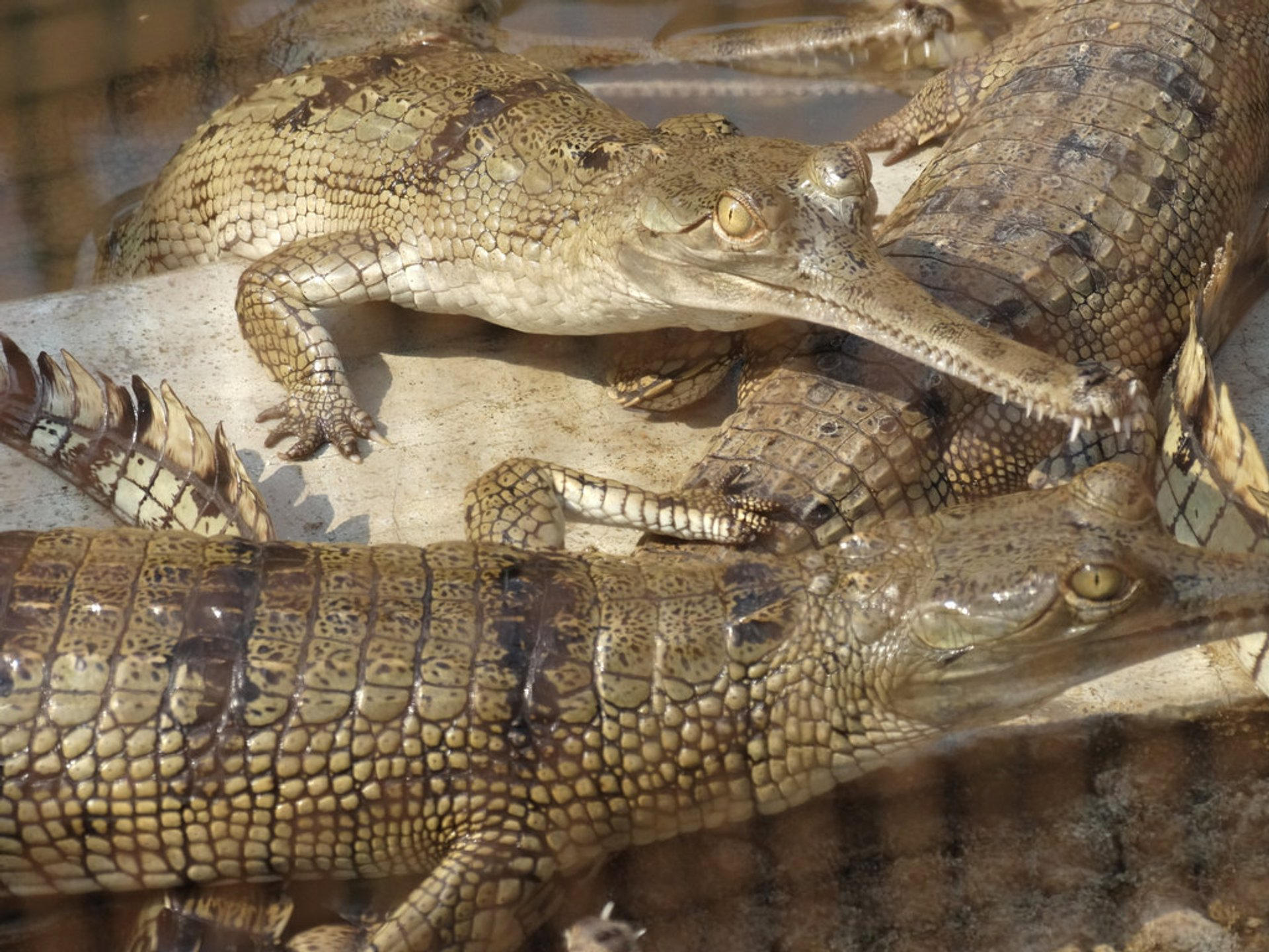 Gharial Crocodiles - Conservation Breeding Center 2020