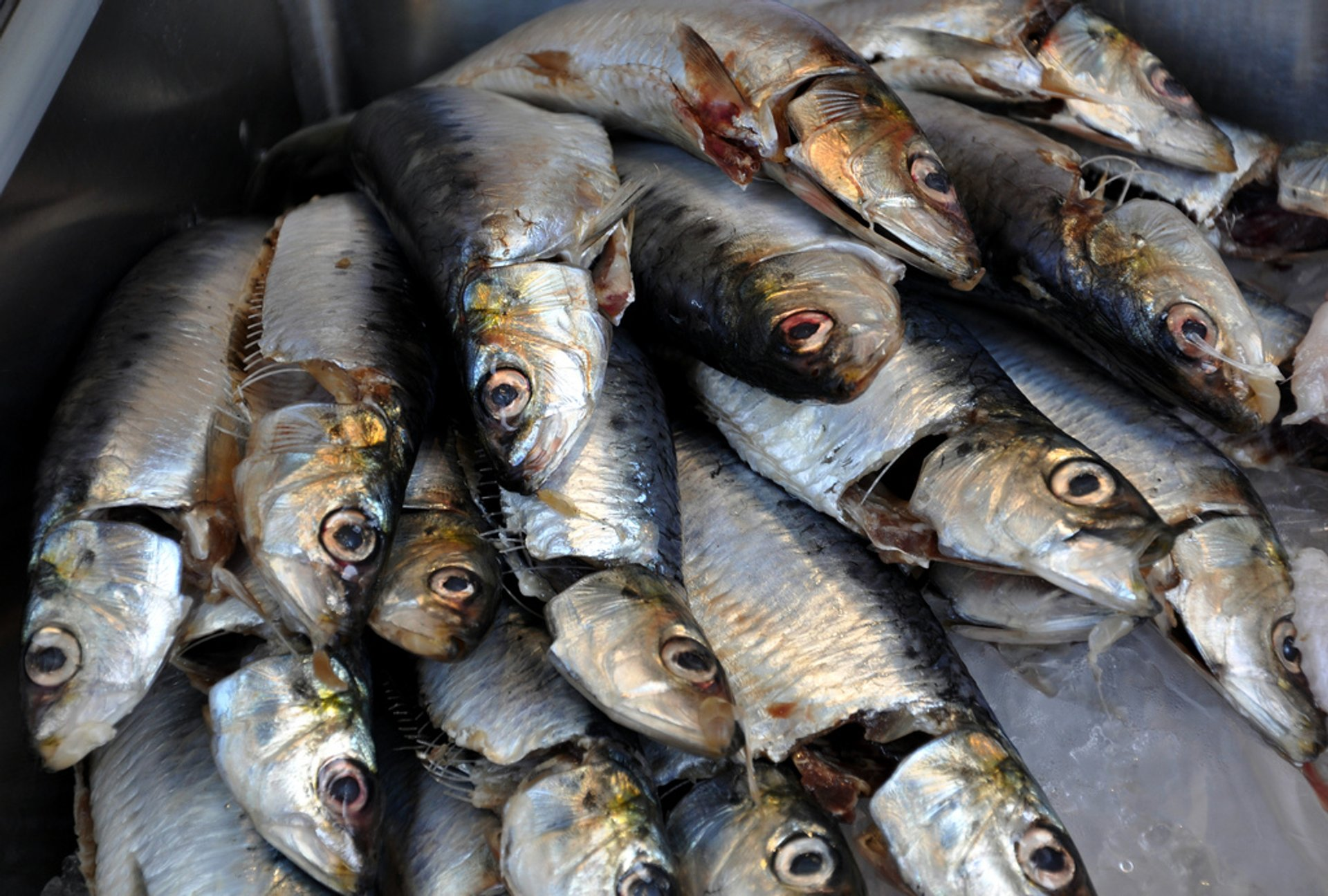 Sardines in Corsica - Best Time