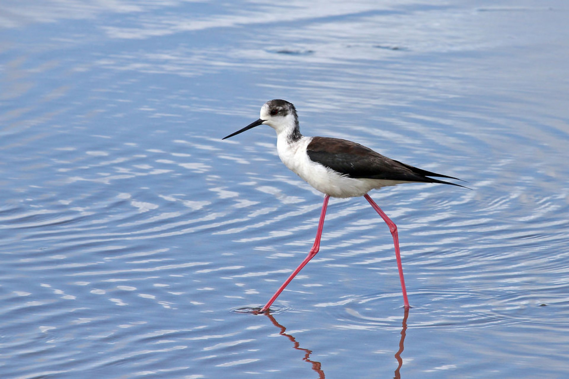 Black-winged Stilt in Sado Estuary 2020