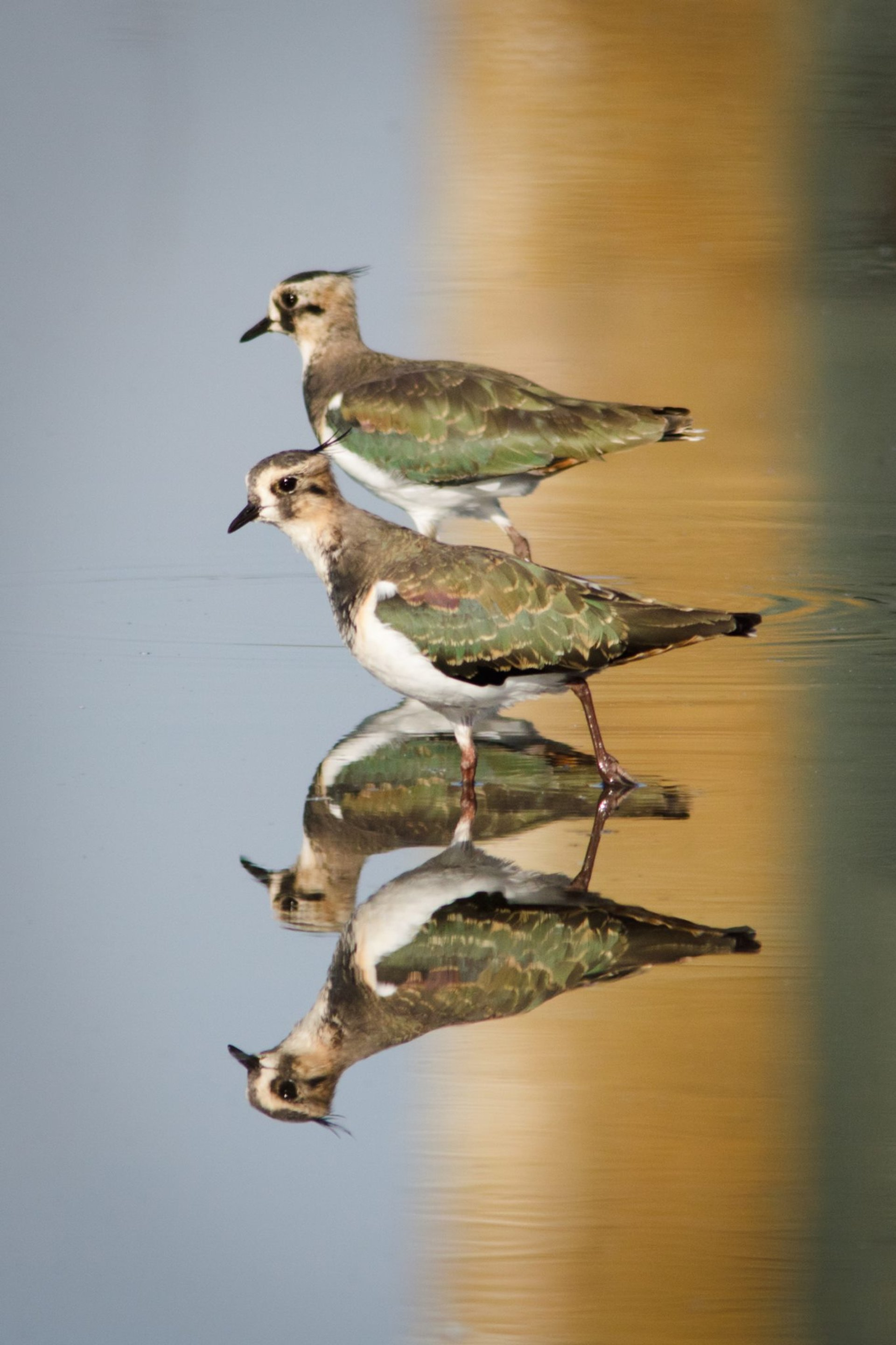 Lapwings 2020