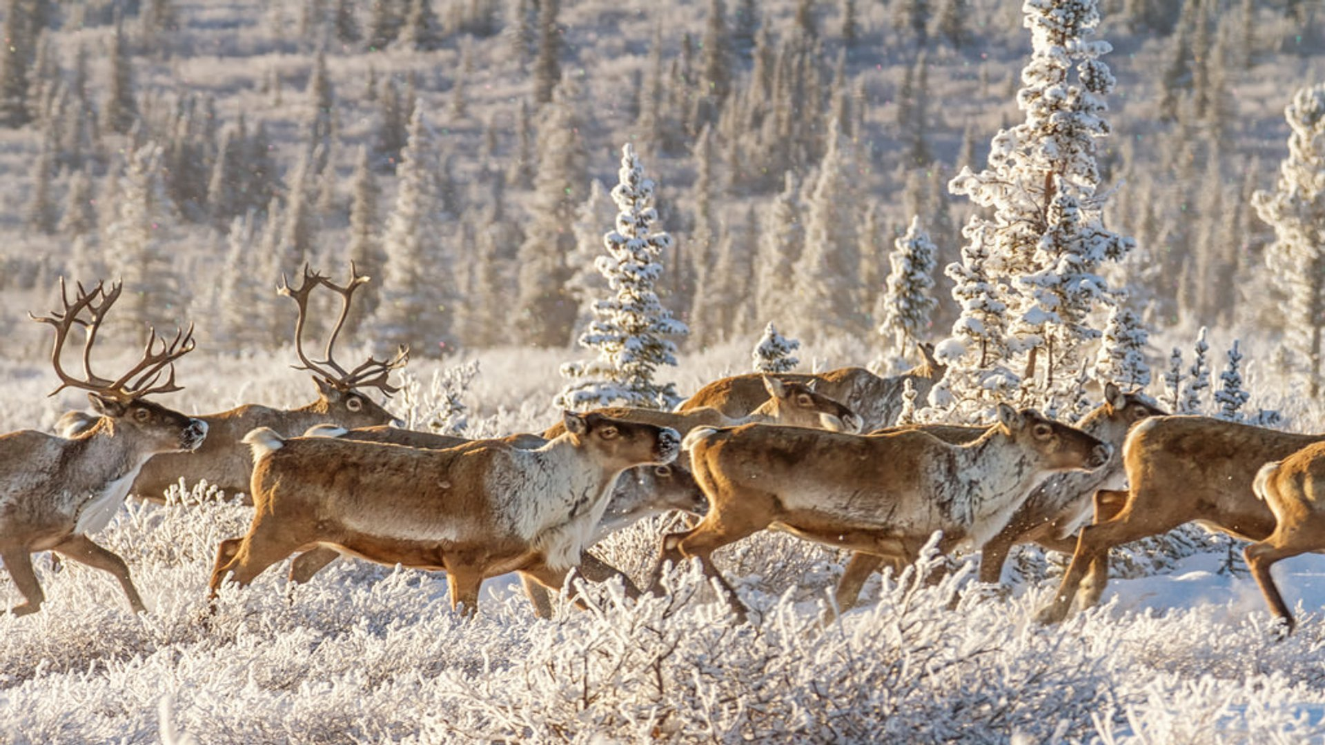 Caribou Spring Migration in Alaska 2020 - Best Time
