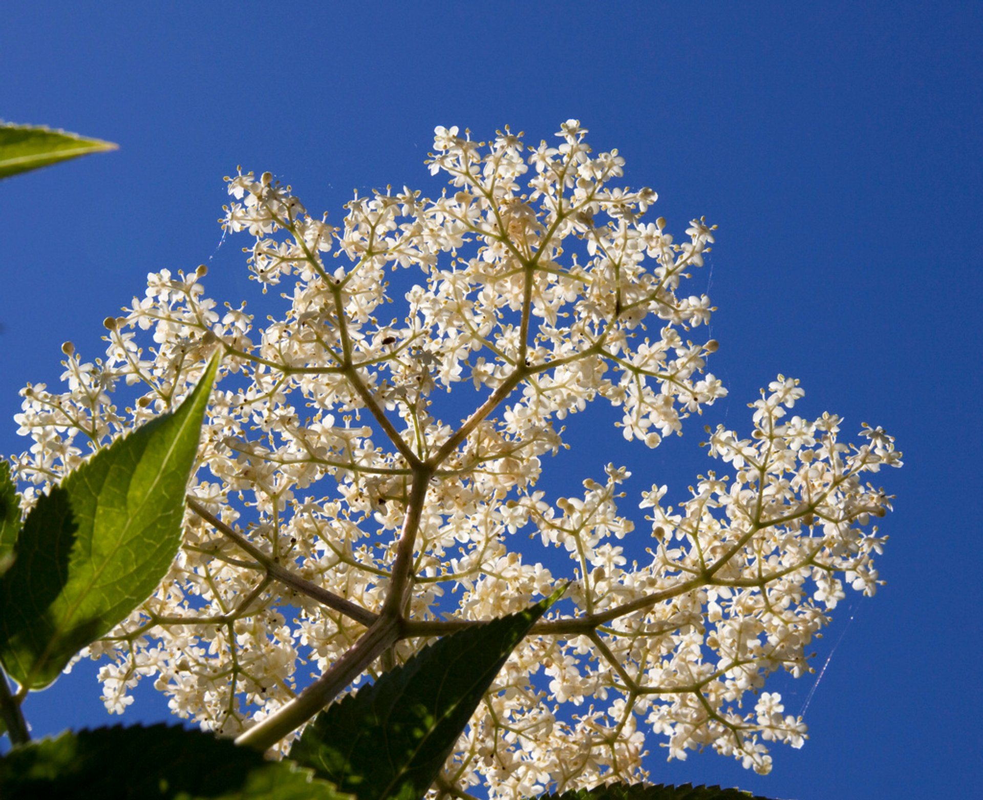 Elderflowers in England 2020 - Best Time