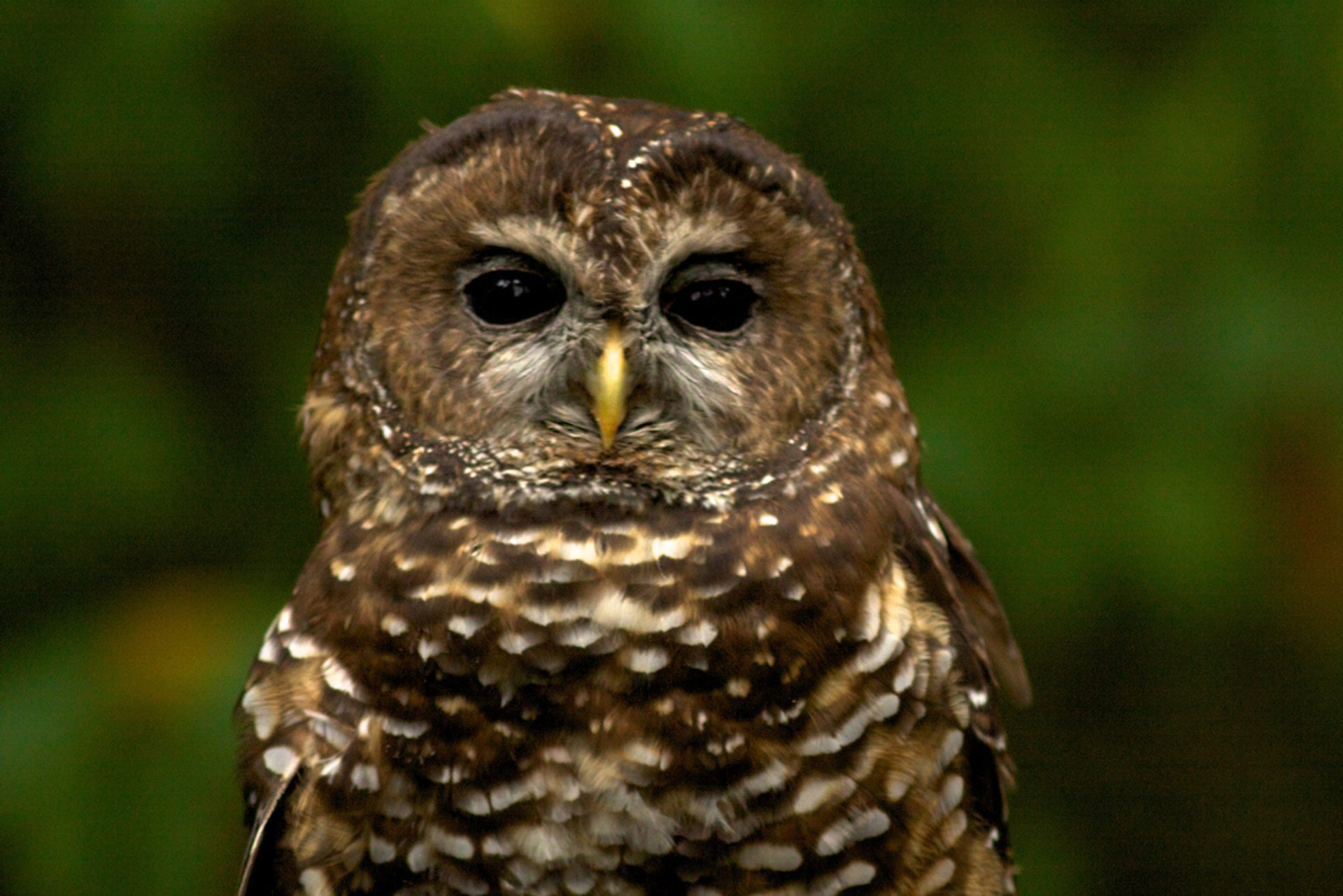 Spotted Owl 2020