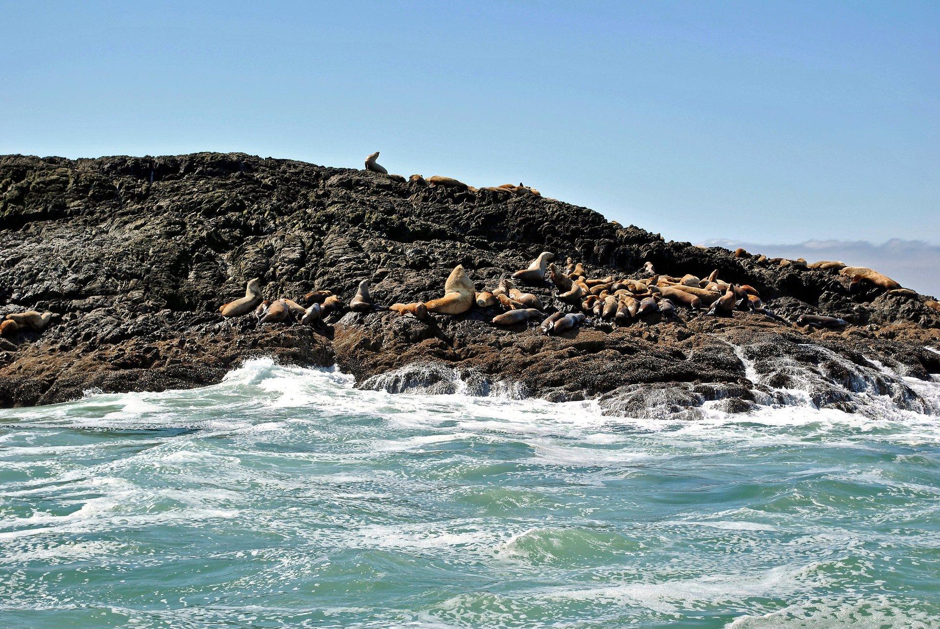 Steller Sea Lions (Eumetopias jubatus) 2020