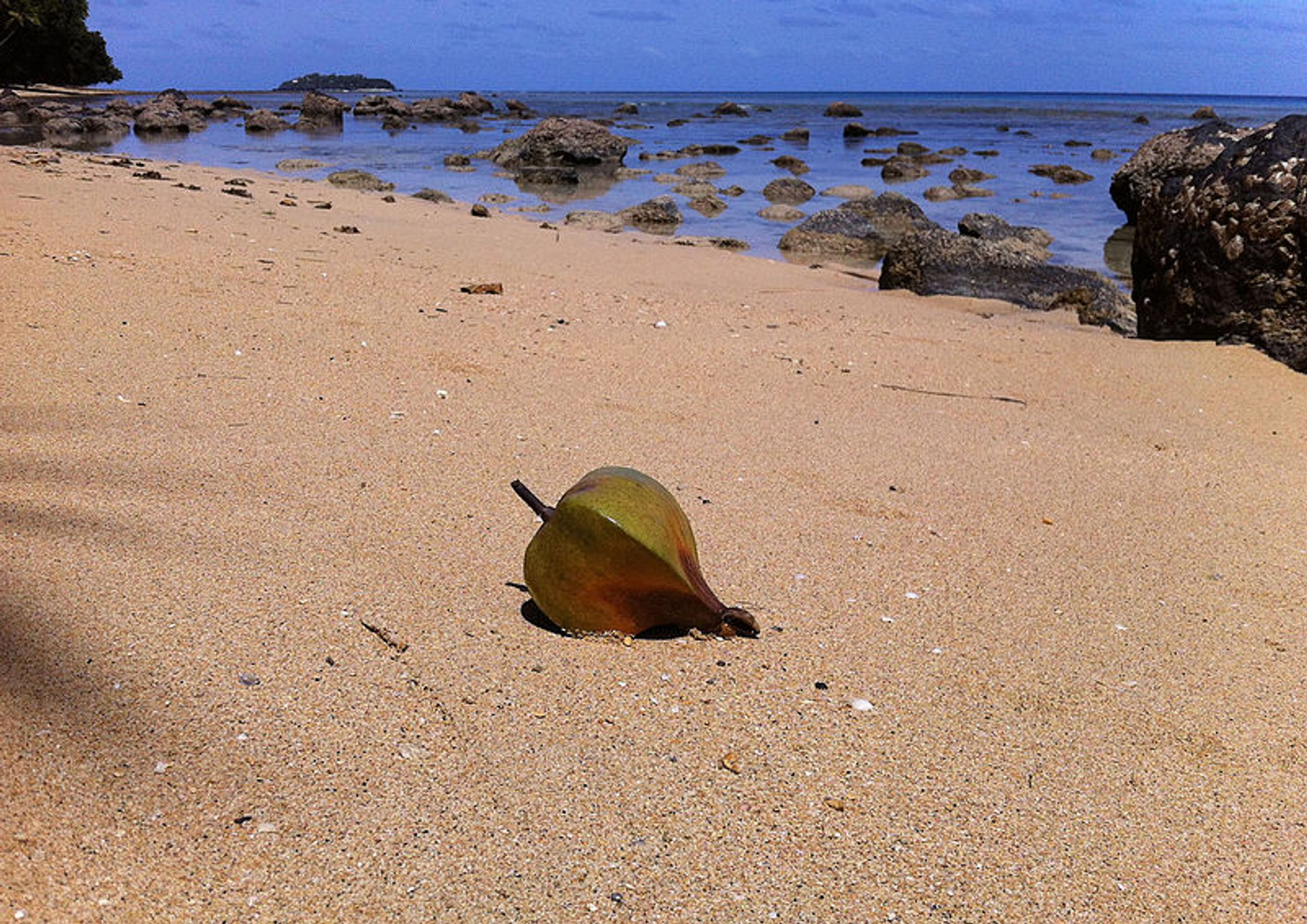 Fruit of Barringtonia asiatica on the beach of Lawaki, Beqa Island, Fiji 2019